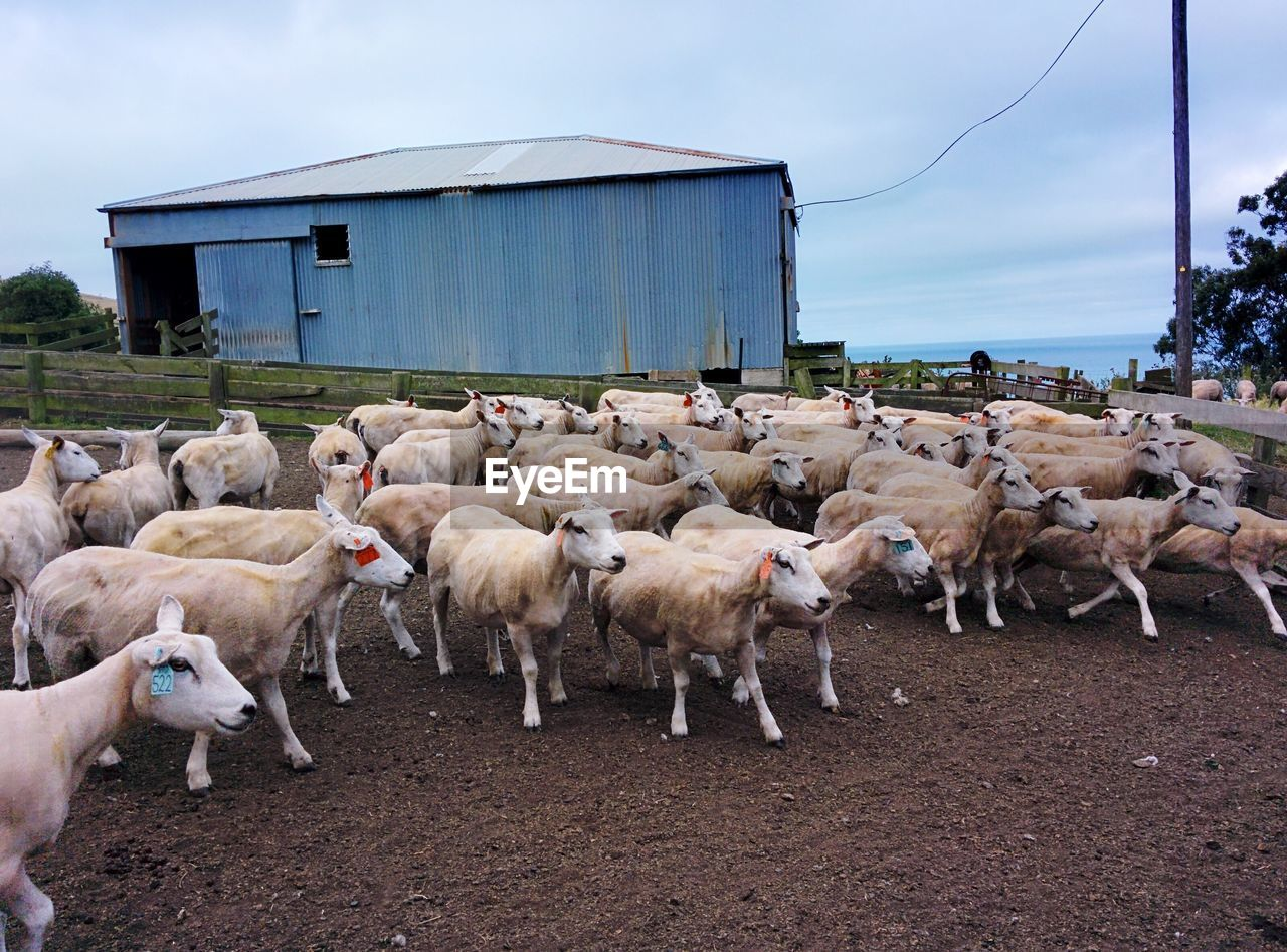 group of animals, domestic animals, domestic, animal themes, pets, mammal, animal, large group of animals, livestock, architecture, vertebrate, built structure, sky, nature, building exterior, sheep, agriculture, day, land, flock of sheep, outdoors, herd, herbivorous