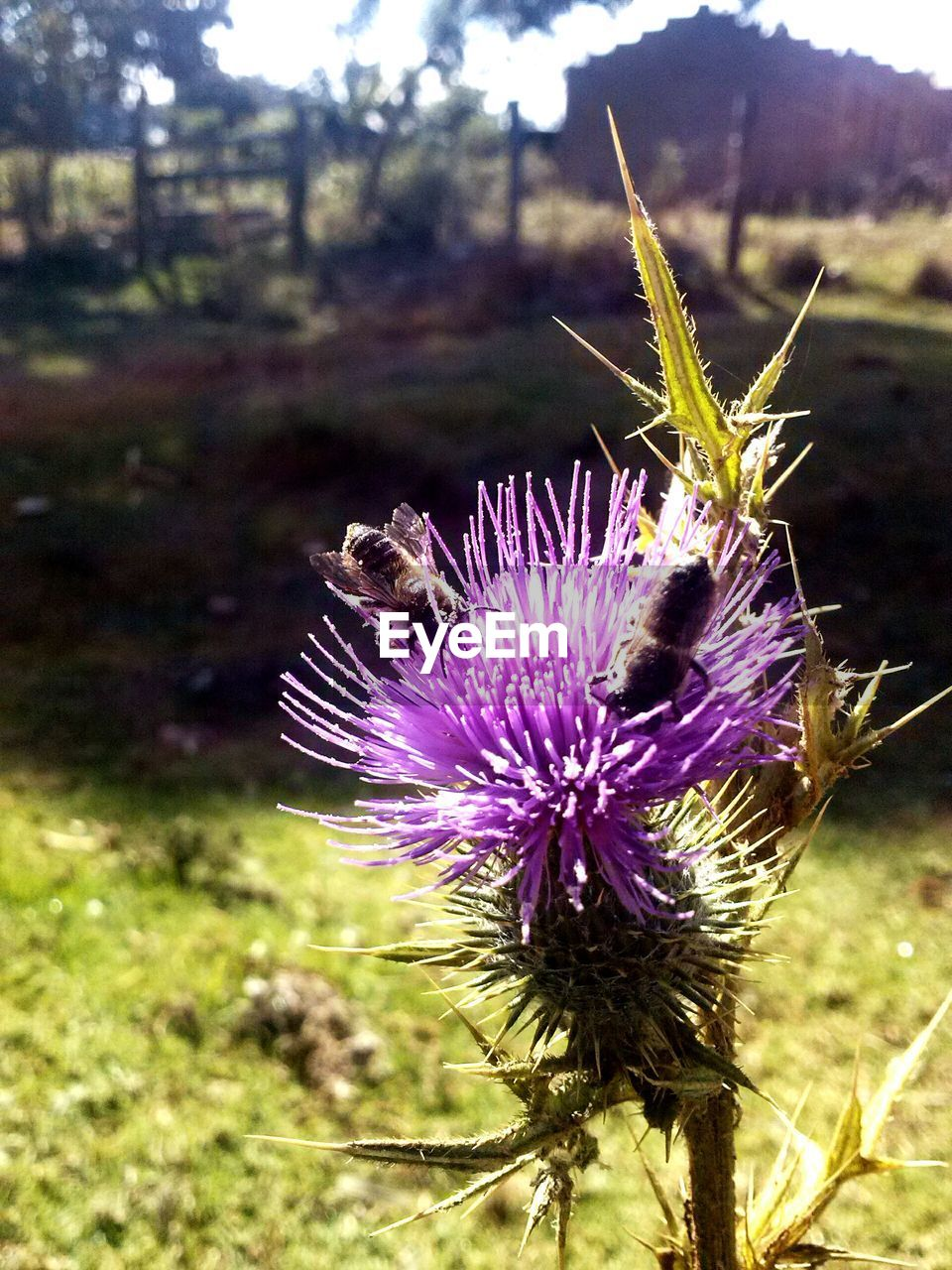 Close-up of bees on thistle