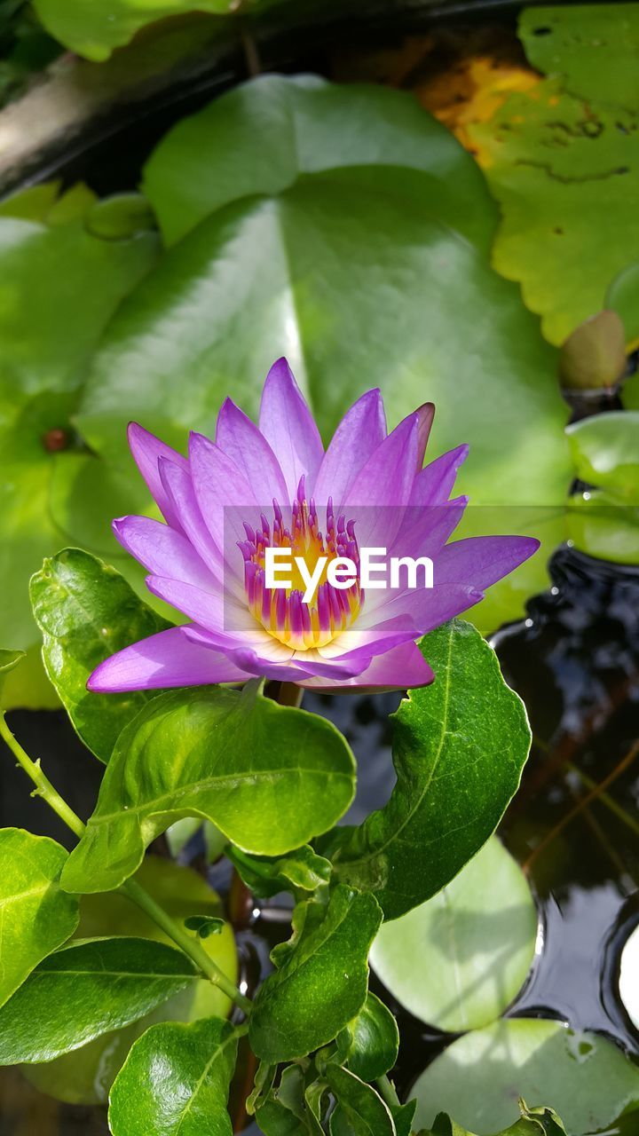 flower, leaf, beauty in nature, freshness, petal, nature, fragility, flower head, growth, green color, plant, close-up, outdoors, water lily, no people, day, lotus water lily, blooming, passion flower