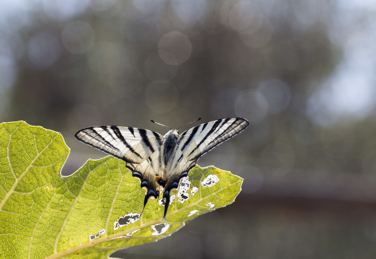 insect, animals in the wild, animal themes, one animal, butterfly - insect, animal wing, animal wildlife, focus on foreground, nature, leaf, butterfly, close-up, outdoors, no people, fragility, day, spread wings, beauty in nature, animal markings, full length, freshness, perching