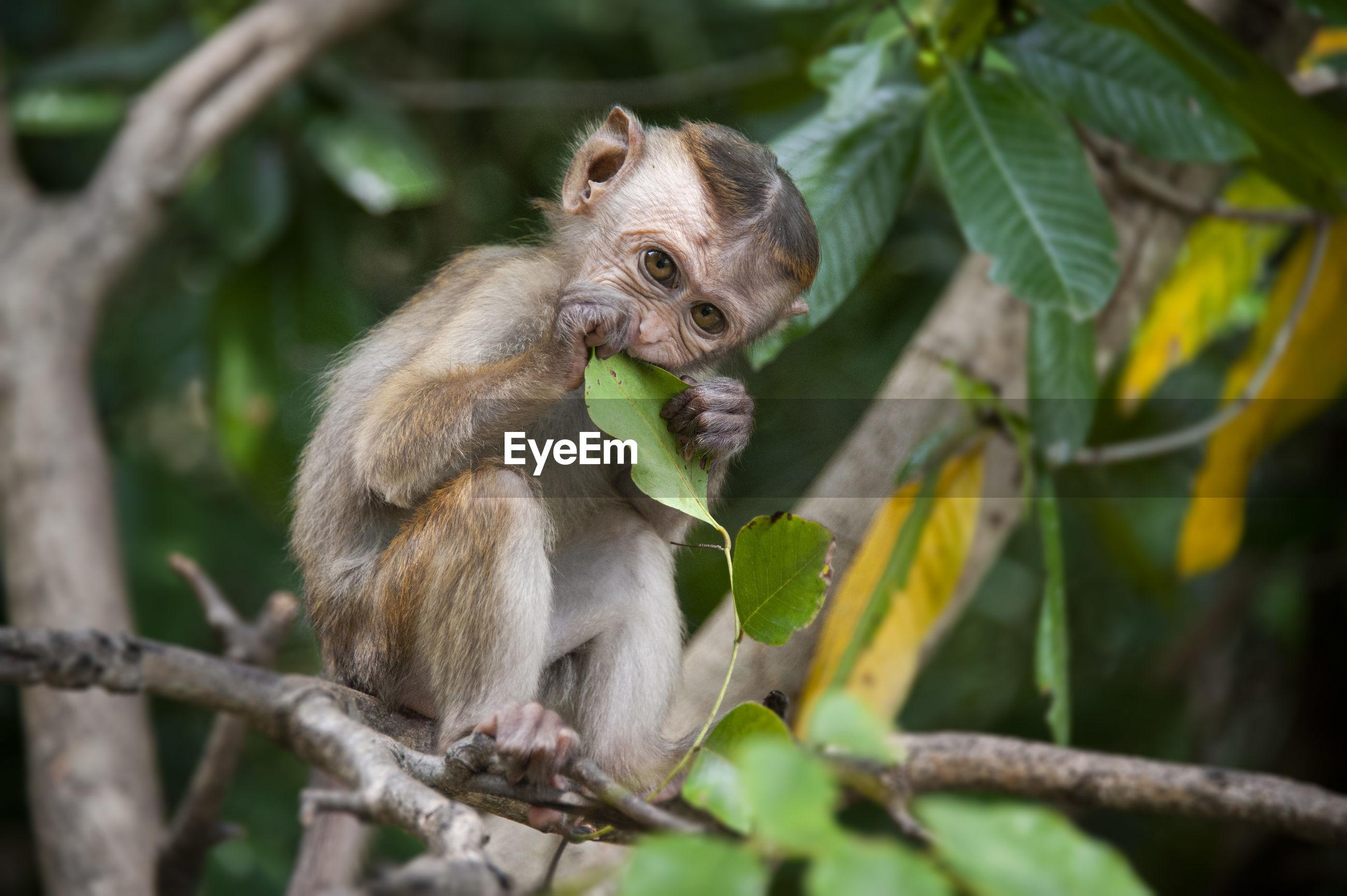 Monkey portrait - sri lanka