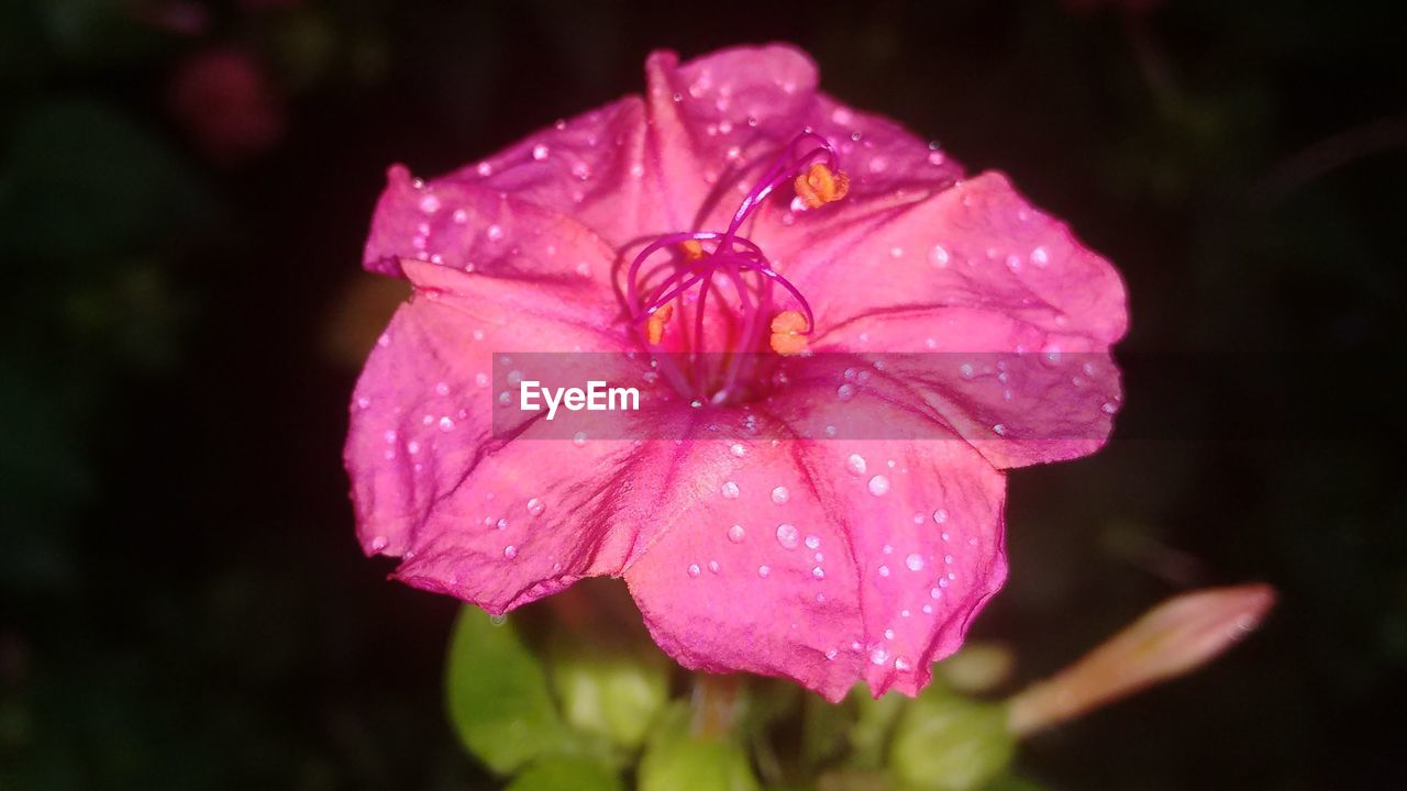 flower, petal, drop, wet, fragility, growth, flower head, nature, water, pink color, beauty in nature, freshness, blooming, focus on foreground, raindrop, no people, close-up, periwinkle, plant, outdoors, day, hibiscus