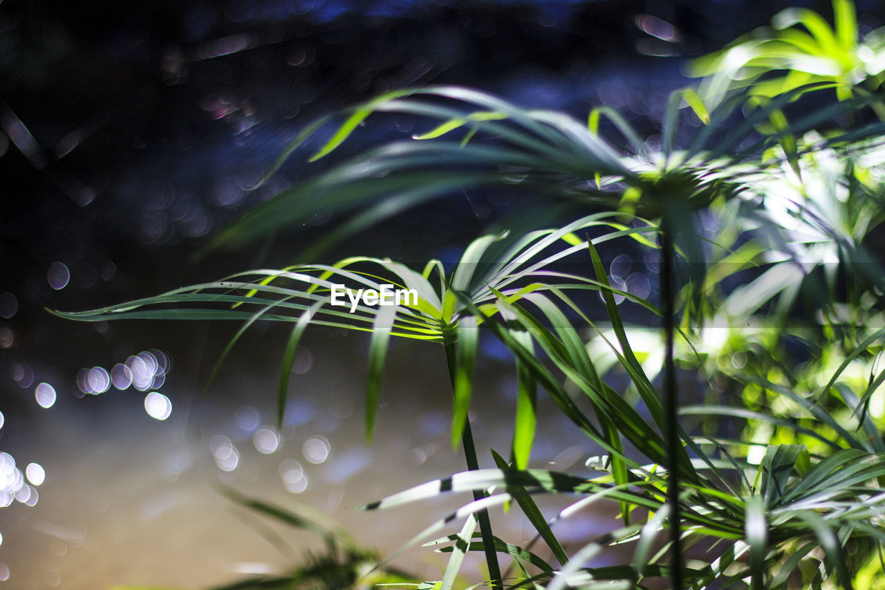 plant, growth, green color, beauty in nature, no people, close-up, leaf, selective focus, nature, plant part, day, focus on foreground, outdoors, tranquility, water, tree, sunlight, freshness, fragility, palm leaf, blade of grass