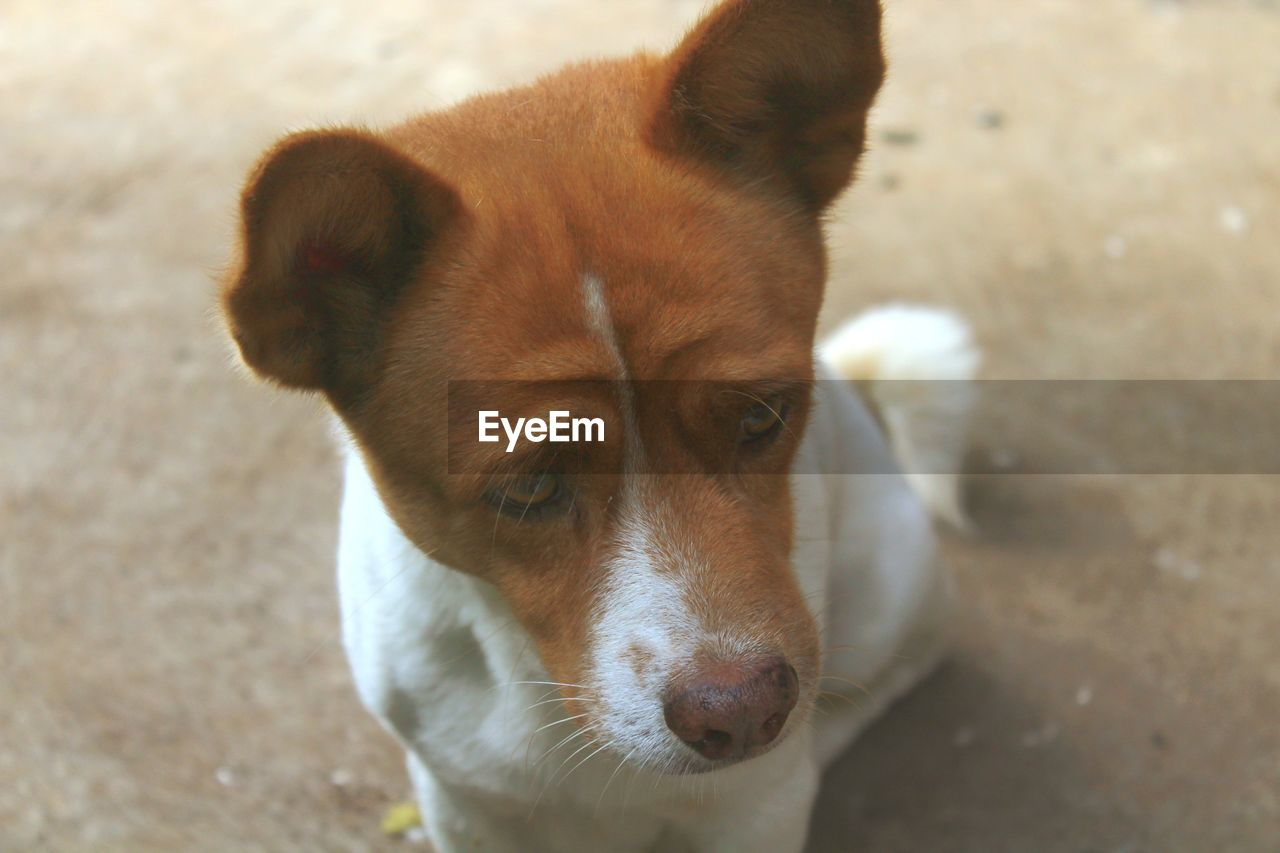 one animal, dog, canine, domestic animals, animal themes, pets, domestic, mammal, animal, vertebrate, looking, focus on foreground, day, portrait, close-up, high angle view, no people, animal body part, animal head, looking at camera, jack russell terrier