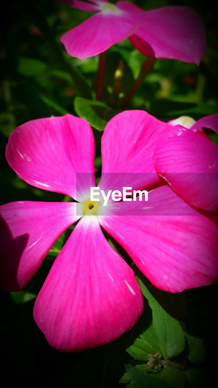 flower, petal, beauty in nature, pink color, fragility, flower head, nature, freshness, growth, plant, close-up, no people, blooming, day, outdoors, periwinkle