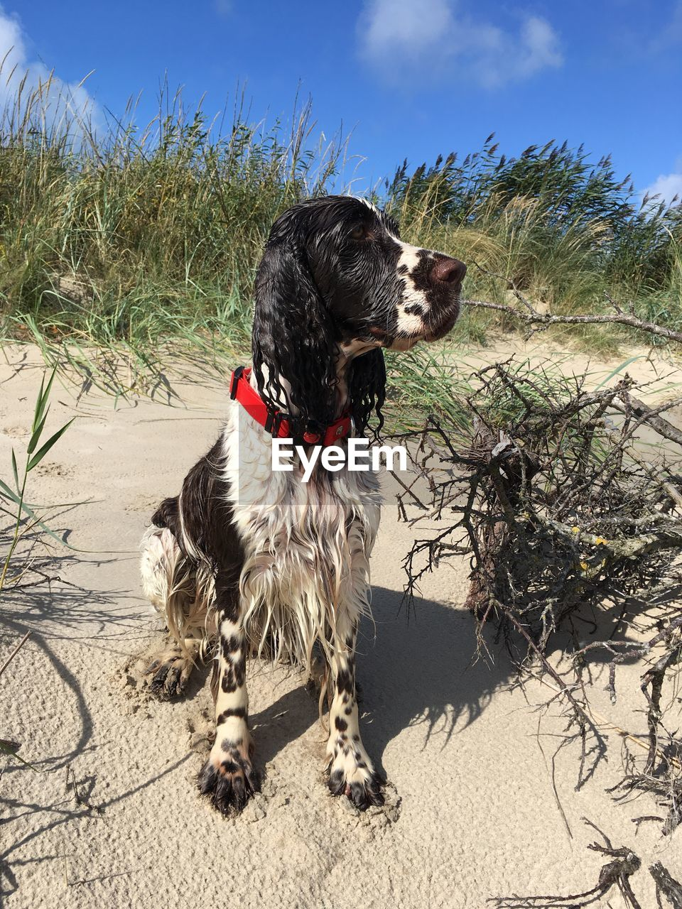 canine, dog, one animal, mammal, pets, domestic animals, domestic, animal, animal themes, vertebrate, land, sand, nature, sunlight, plant, sky, no people, day, beach, collar, outdoors, mouth open