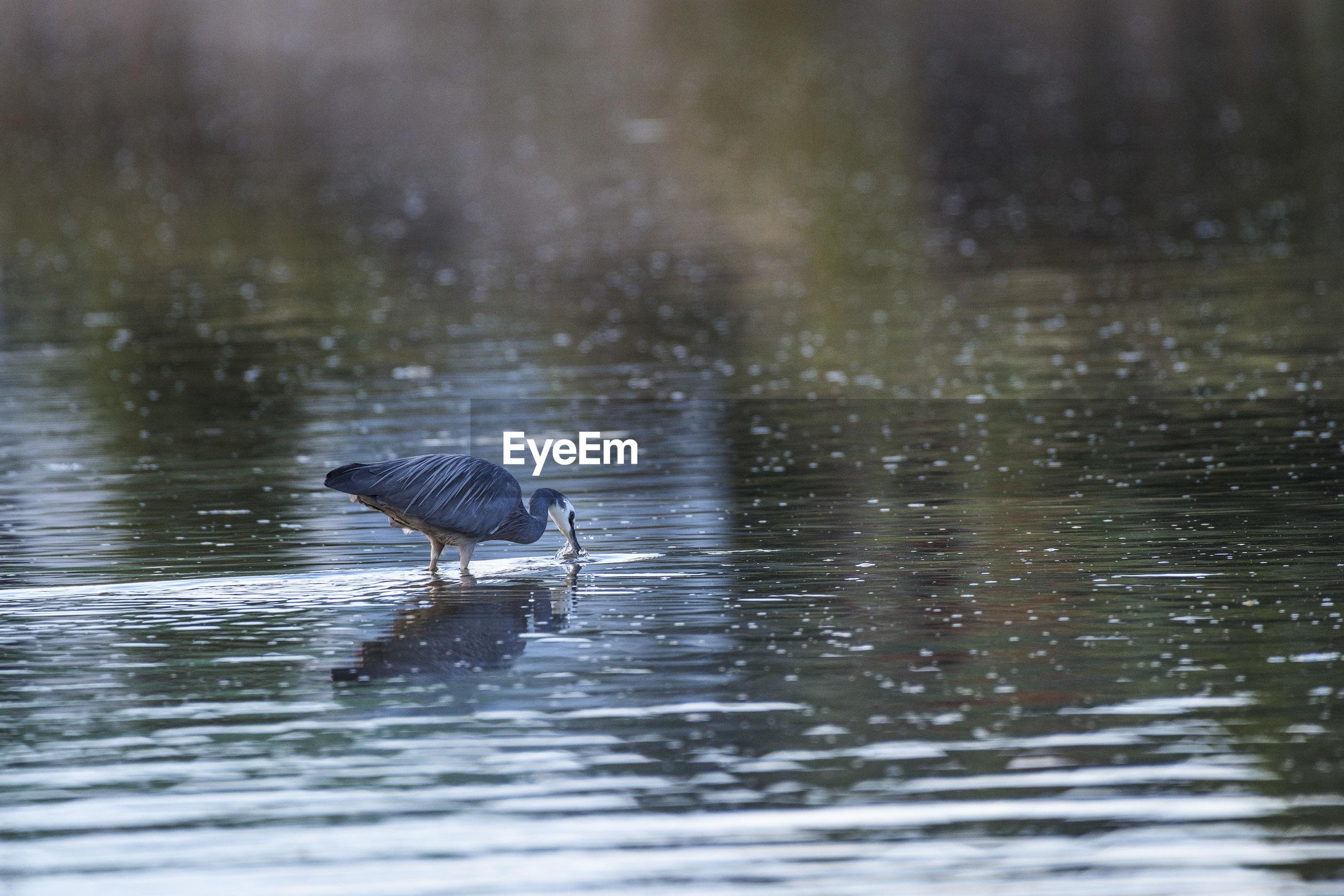 Heron on lake