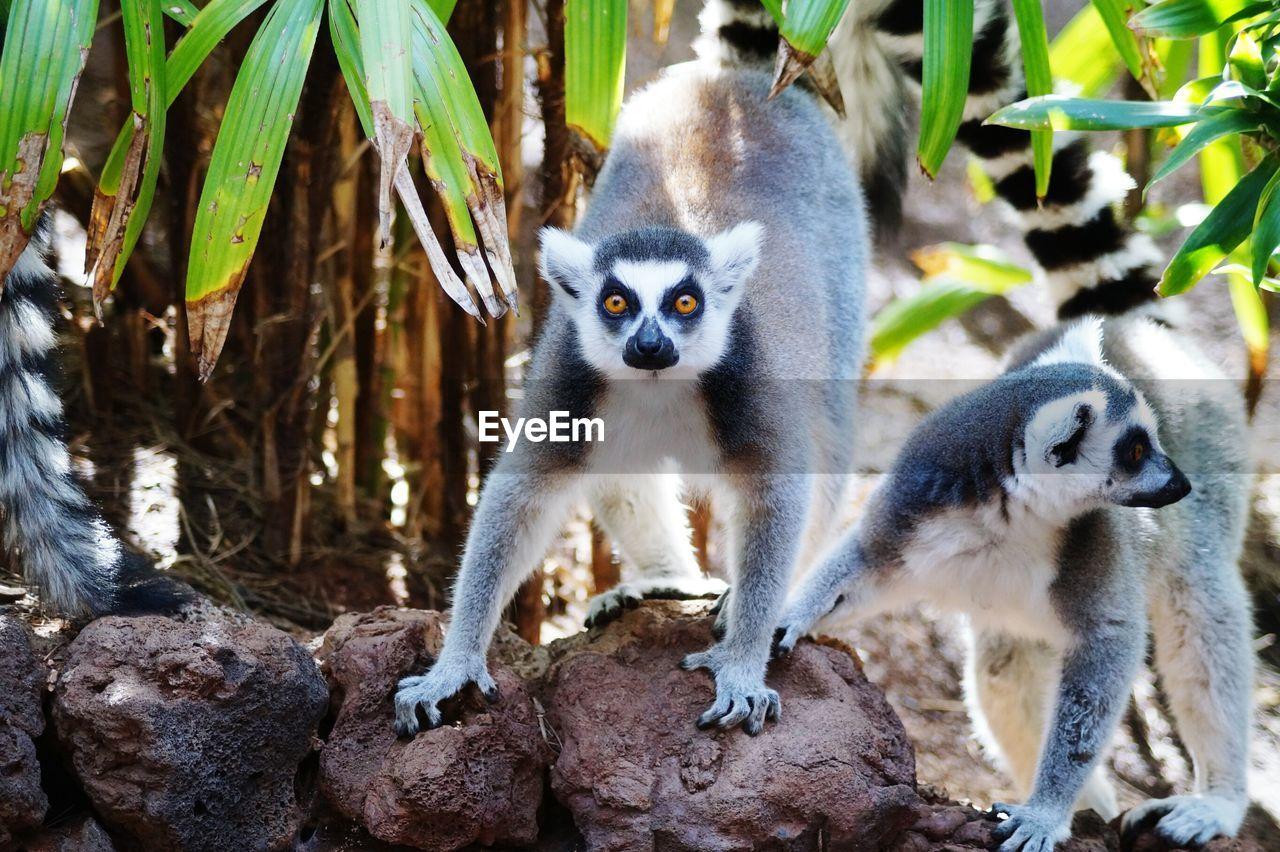 Close-Up Of Lemurs At Zoo