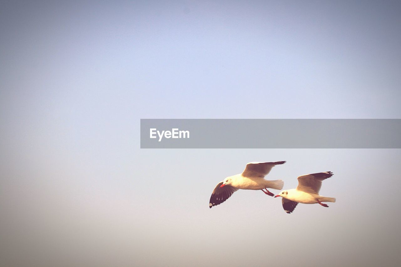copy space, animal themes, clear sky, bird, animals in the wild, flying, low angle view, no people, nature, spread wings, day, animal wildlife, outdoors, beauty in nature, sky