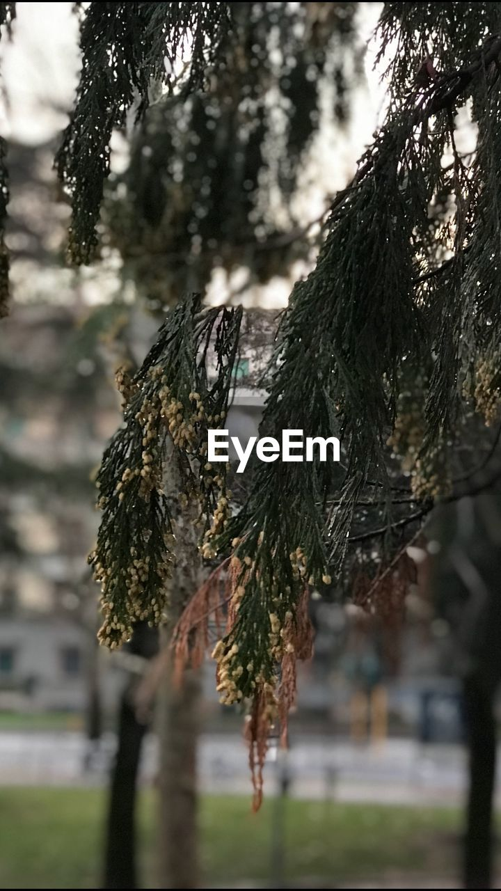 focus on foreground, hanging, tree, outdoors, no people, day, nature, close-up, growth, beauty in nature, sky