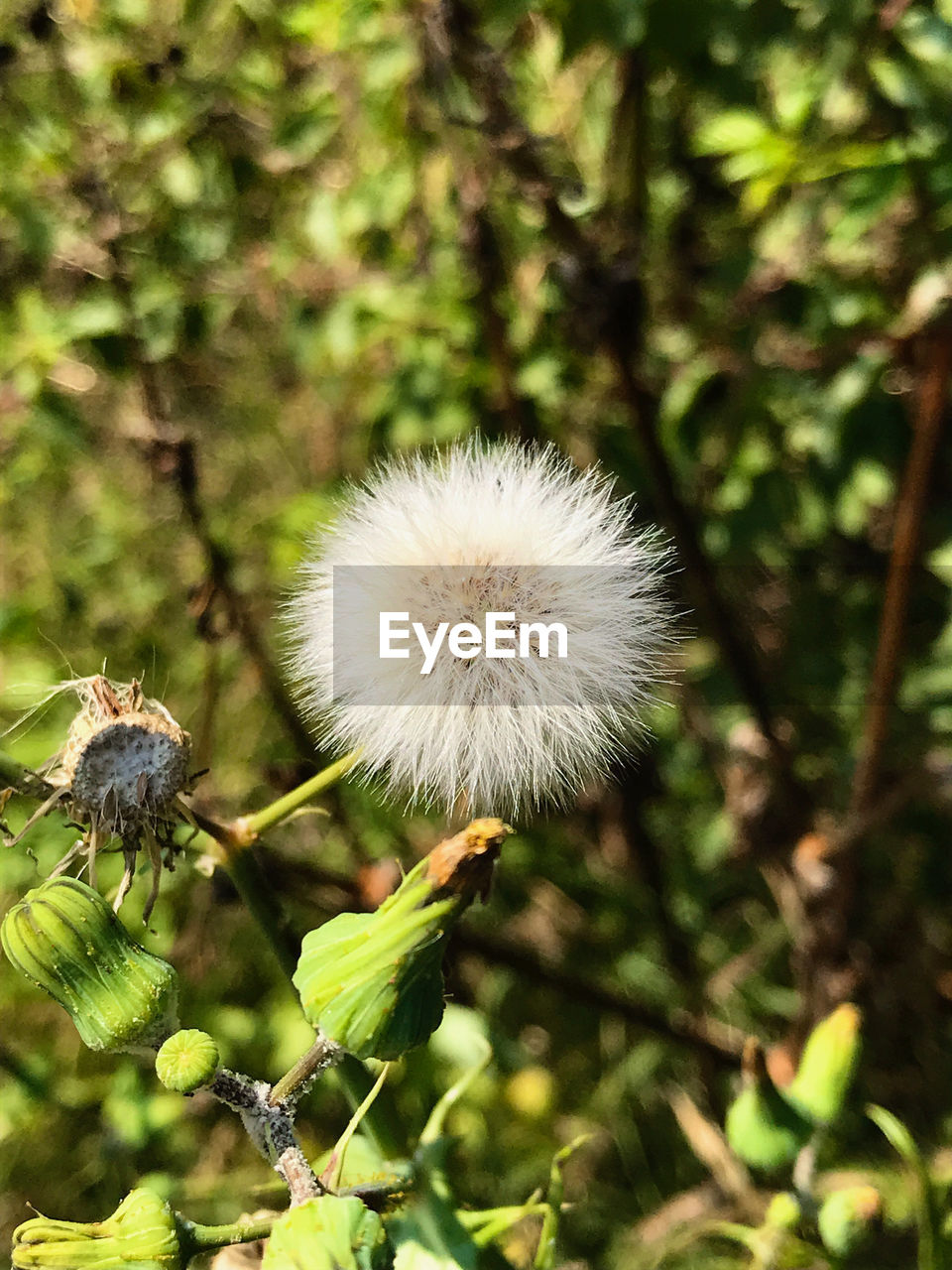 plant, flower, freshness, flowering plant, fragility, vulnerability, growth, close-up, beauty in nature, focus on foreground, dandelion, nature, no people, day, flower head, white color, inflorescence, outdoors, plant stem, selective focus, softness, dandelion seed