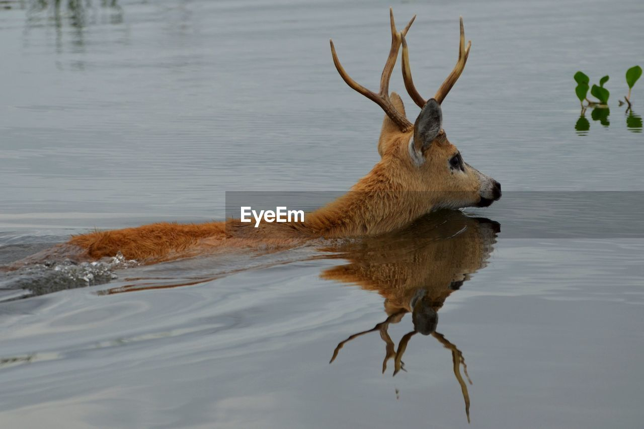 High angle view of stag swimming in lake