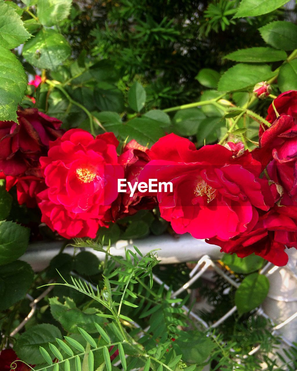 flower, red, nature, beauty in nature, growth, petal, plant, fragility, leaf, freshness, outdoors, day, no people, blooming, flower head, close-up