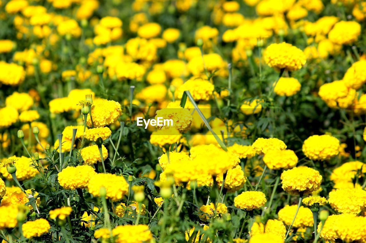 yellow, flower, nature, oilseed rape, growth, beauty in nature, fragility, mustard plant, field, plant, vibrant color, petal, botany, blossom, freshness, springtime, blooming, abundance, agriculture, outdoors, tranquility, day, no people, flower head, flowerbed, marigold