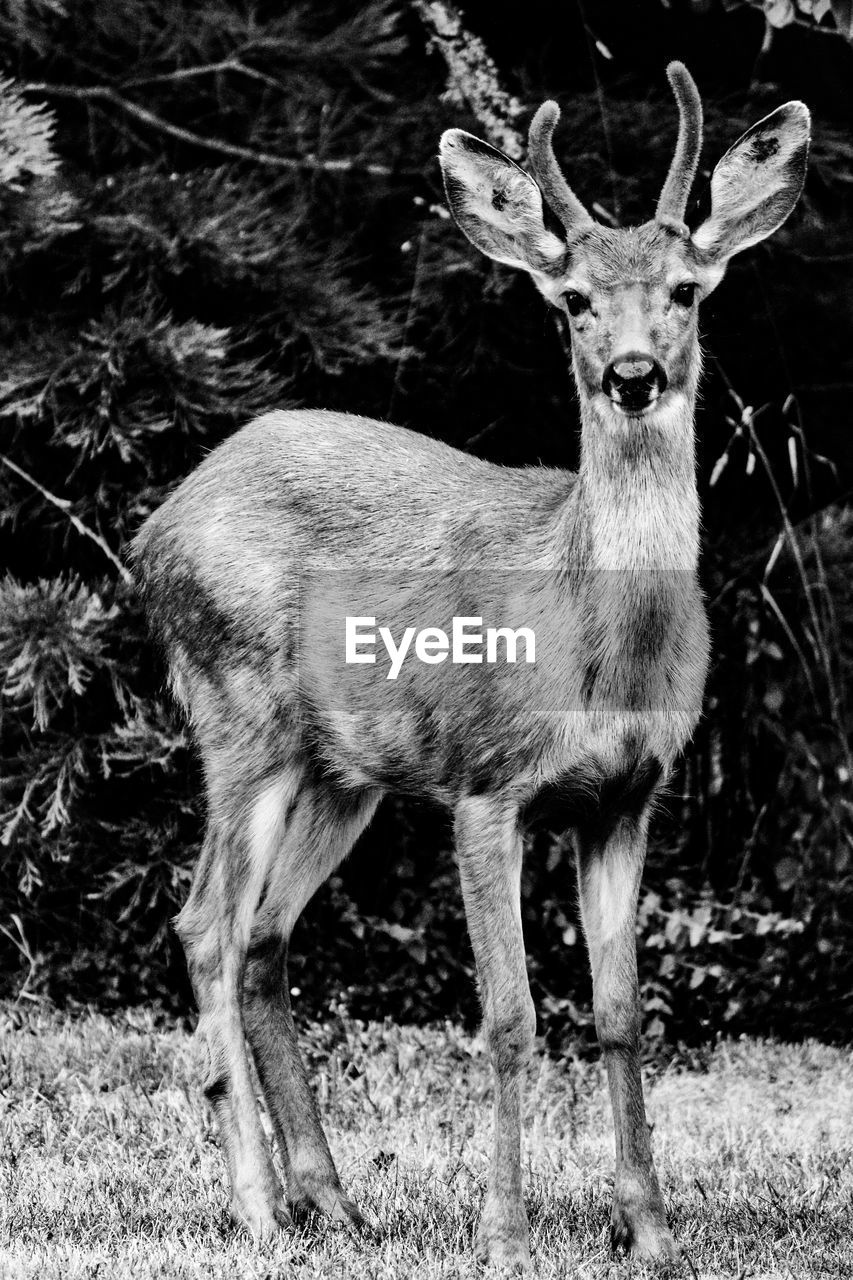 animal, animal themes, deer, mammal, animal wildlife, vertebrate, animals in the wild, one animal, field, land, no people, standing, day, nature, plant, portrait, antler, tree, looking at camera, outdoors, herbivorous, fawn
