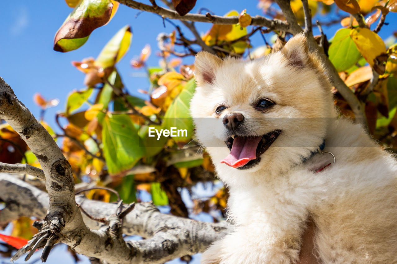 one animal, animal, vertebrate, animal themes, mammal, canine, dog, domestic, domestic animals, pets, plant part, mouth open, leaf, plant, mouth, tree, day, focus on foreground, branch, nature, no people, outdoors, pomeranian, animal head