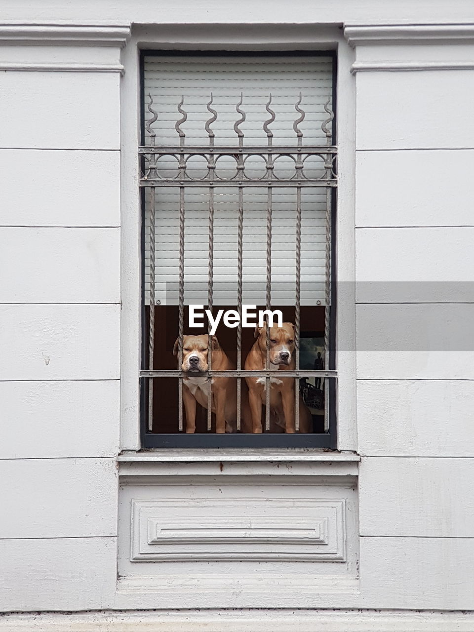 Two Dogs In Window