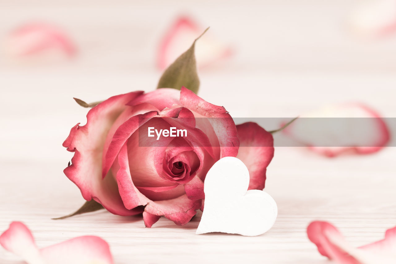 flower, beauty in nature, flowering plant, freshness, pink color, close-up, plant, petal, rose, rose - flower, vulnerability, flower head, inflorescence, fragility, nature, indoors, no people, rose petals, table, red, positive emotion, softness