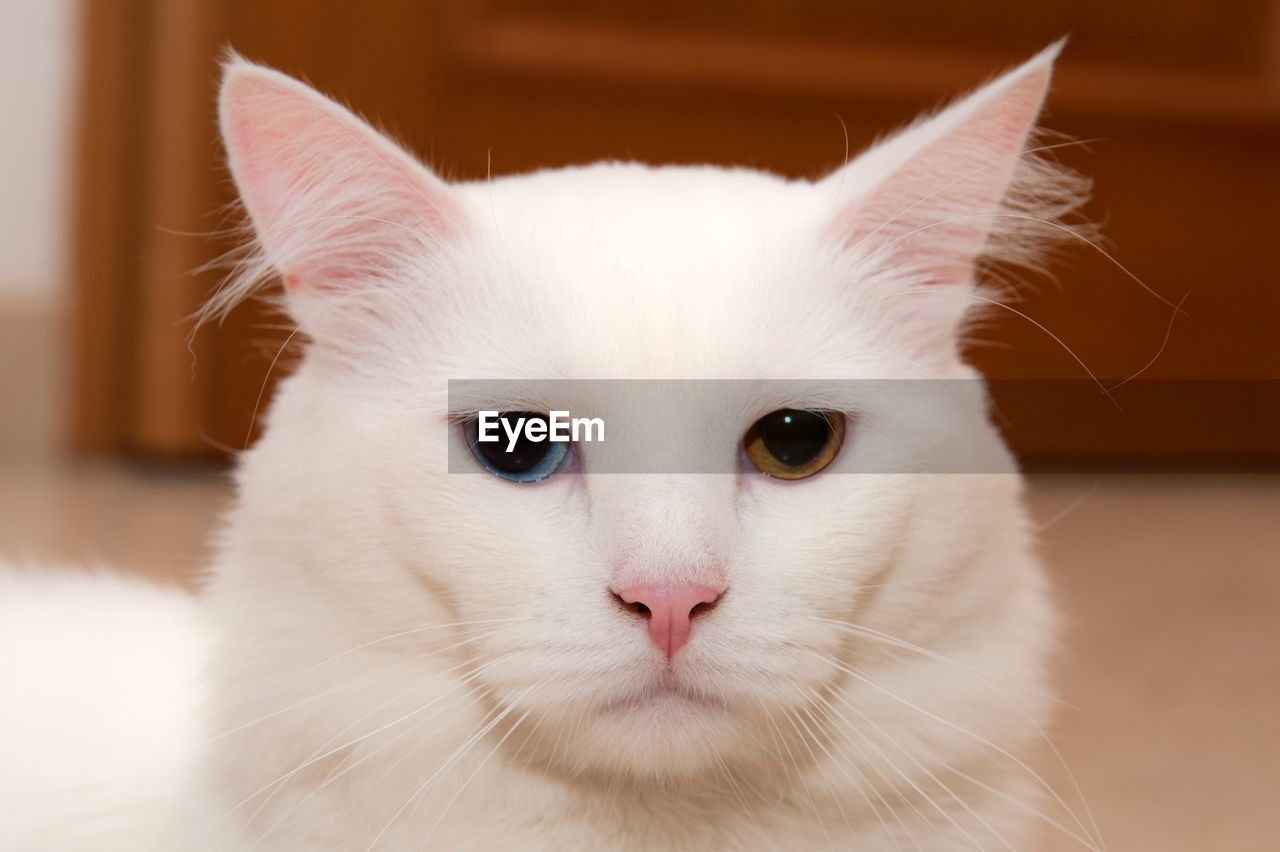 pets, domestic, domestic animals, mammal, domestic cat, cat, animal themes, feline, animal, one animal, vertebrate, white color, indoors, portrait, close-up, looking at camera, focus on foreground, animal body part, whisker, no people, animal head, animal eye