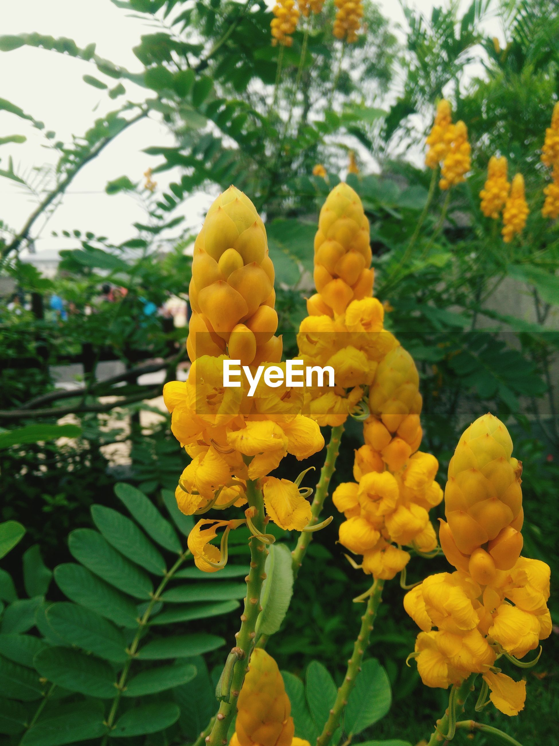 Close-up of yellow flowers blooming in garden