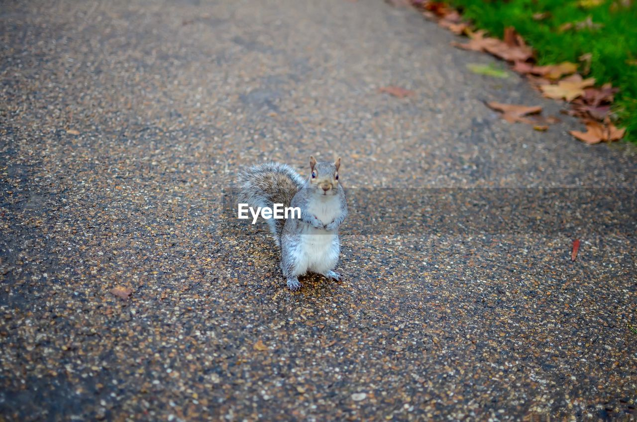 animal themes, animal, one animal, mammal, road, rodent, no people, transportation, city, animal wildlife, animals in the wild, day, nature, vertebrate, street, high angle view, domestic, pets, portrait, outdoors