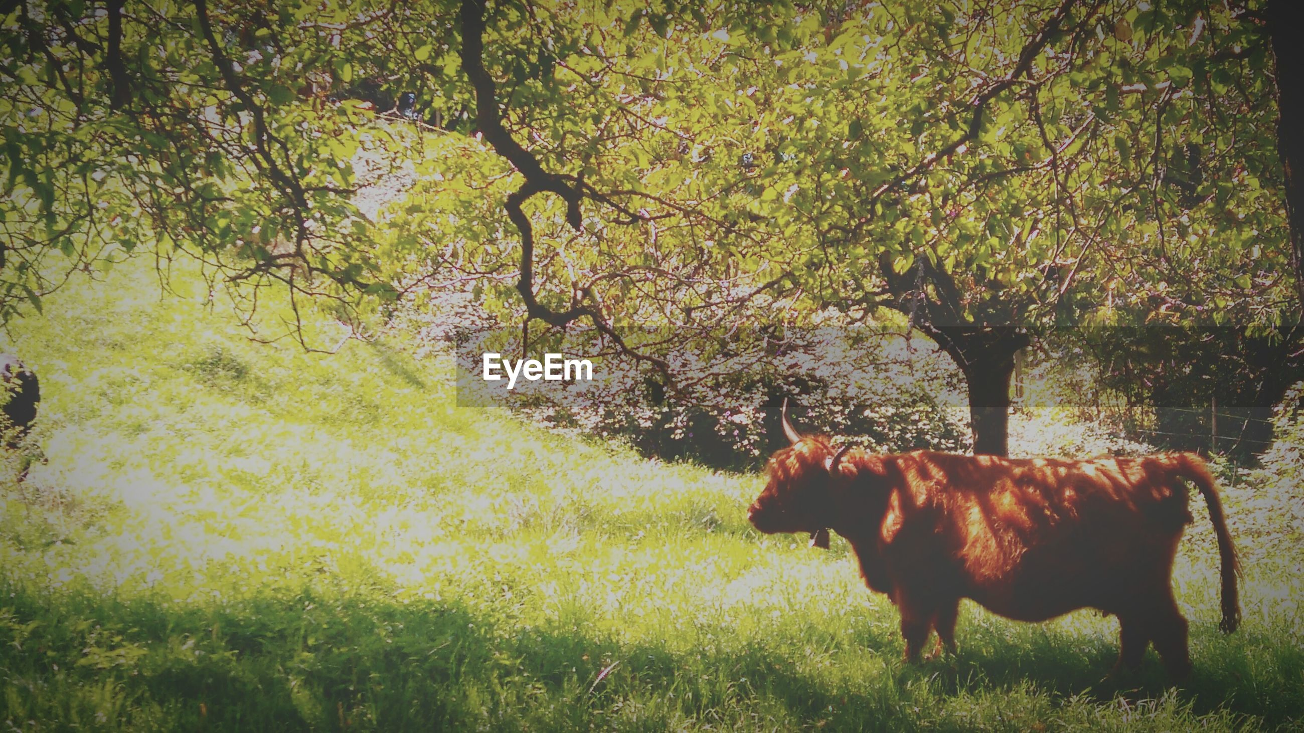 Cow standing on grassy field against trees