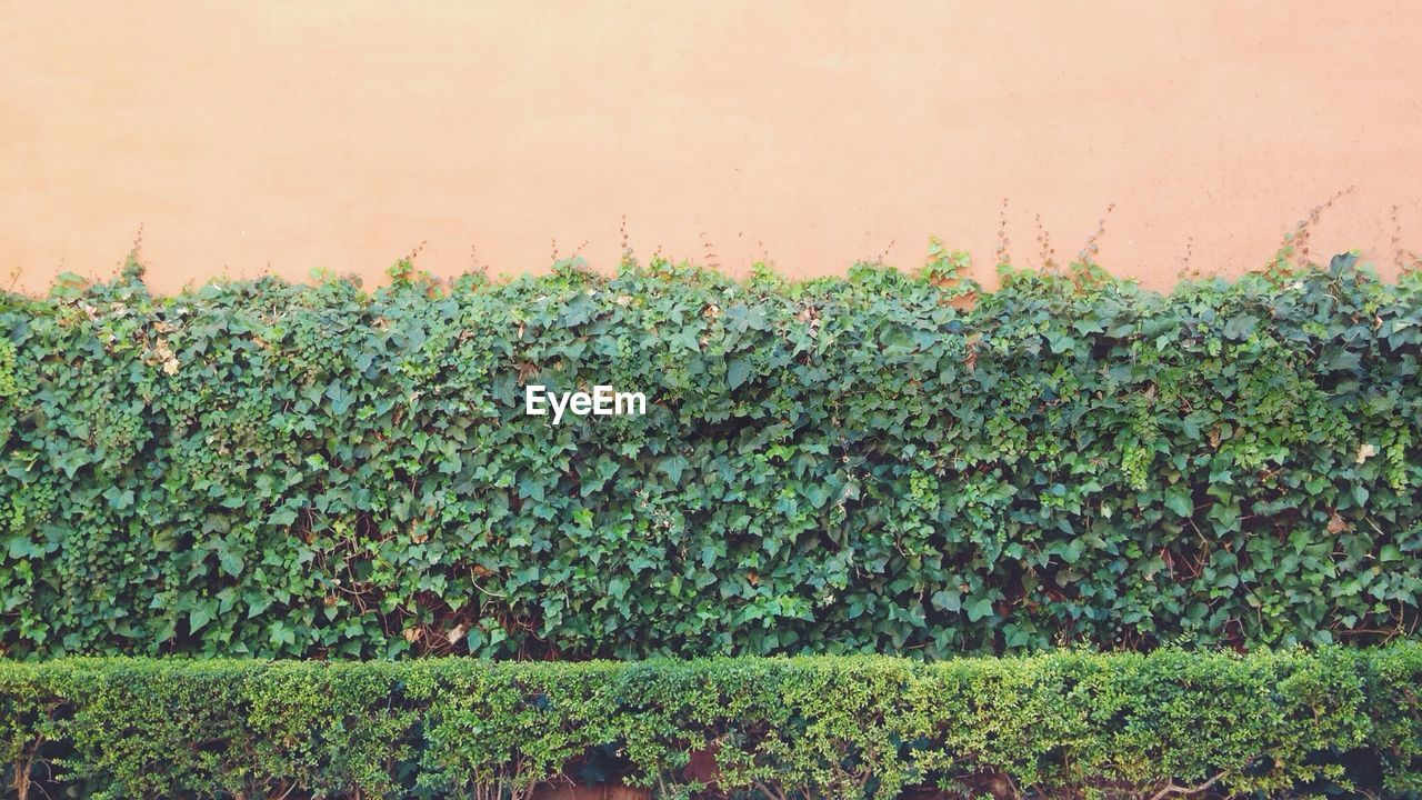 Fresh green hedges against wall