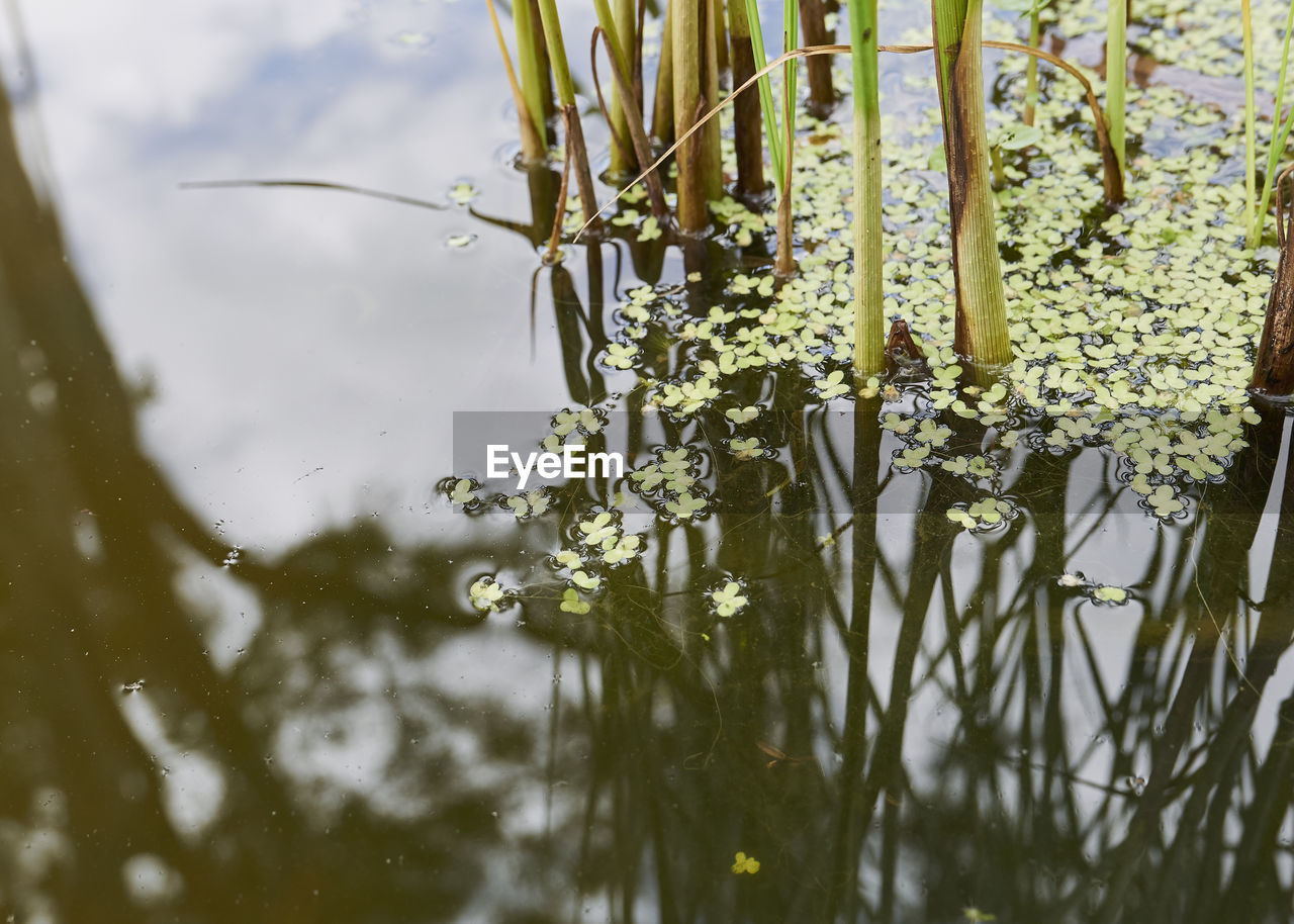plant, flower, flowering plant, water, growth, beauty in nature, nature, lake, fragility, day, vulnerability, no people, reflection, selective focus, tranquility, outdoors, freshness, close-up