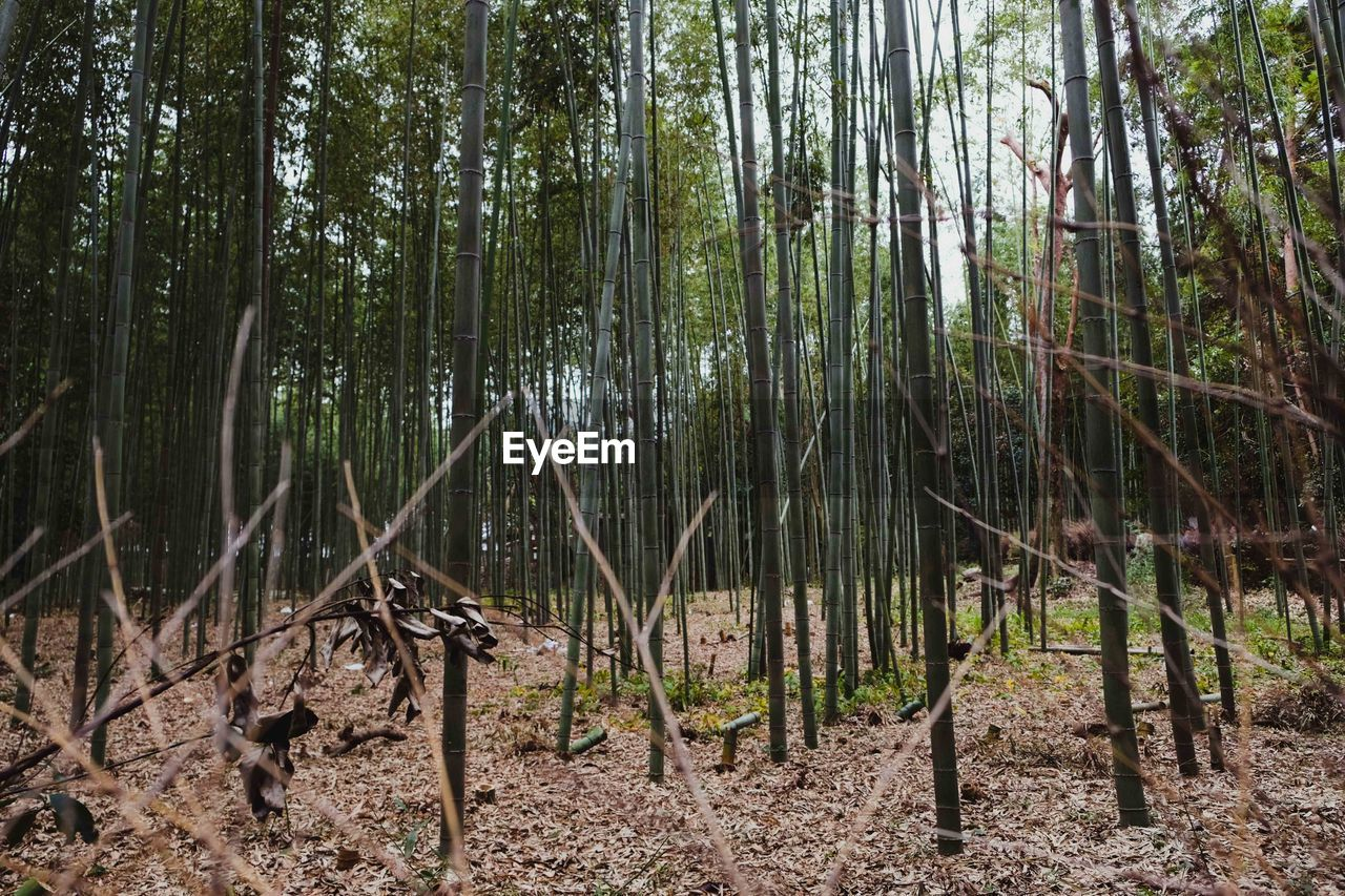 forest, tree, land, plant, tranquility, no people, woodland, day, nature, trunk, tree trunk, tranquil scene, growth, beauty in nature, bamboo - plant, outdoors, bamboo grove, non-urban scene, scenics - nature, bamboo, swamp