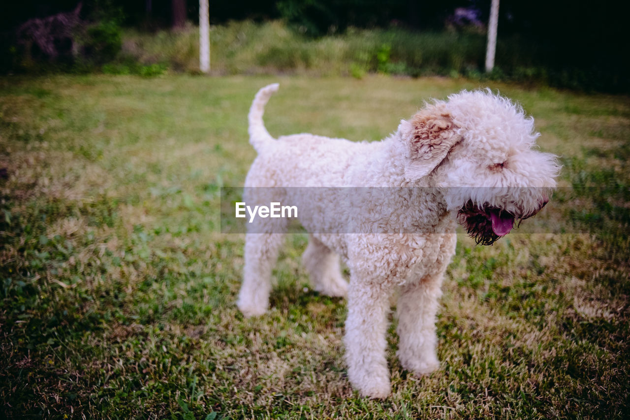 dog, pets, domestic animals, one animal, animal themes, grass, poodle, mammal, focus on foreground, no people, outdoors, day, close-up