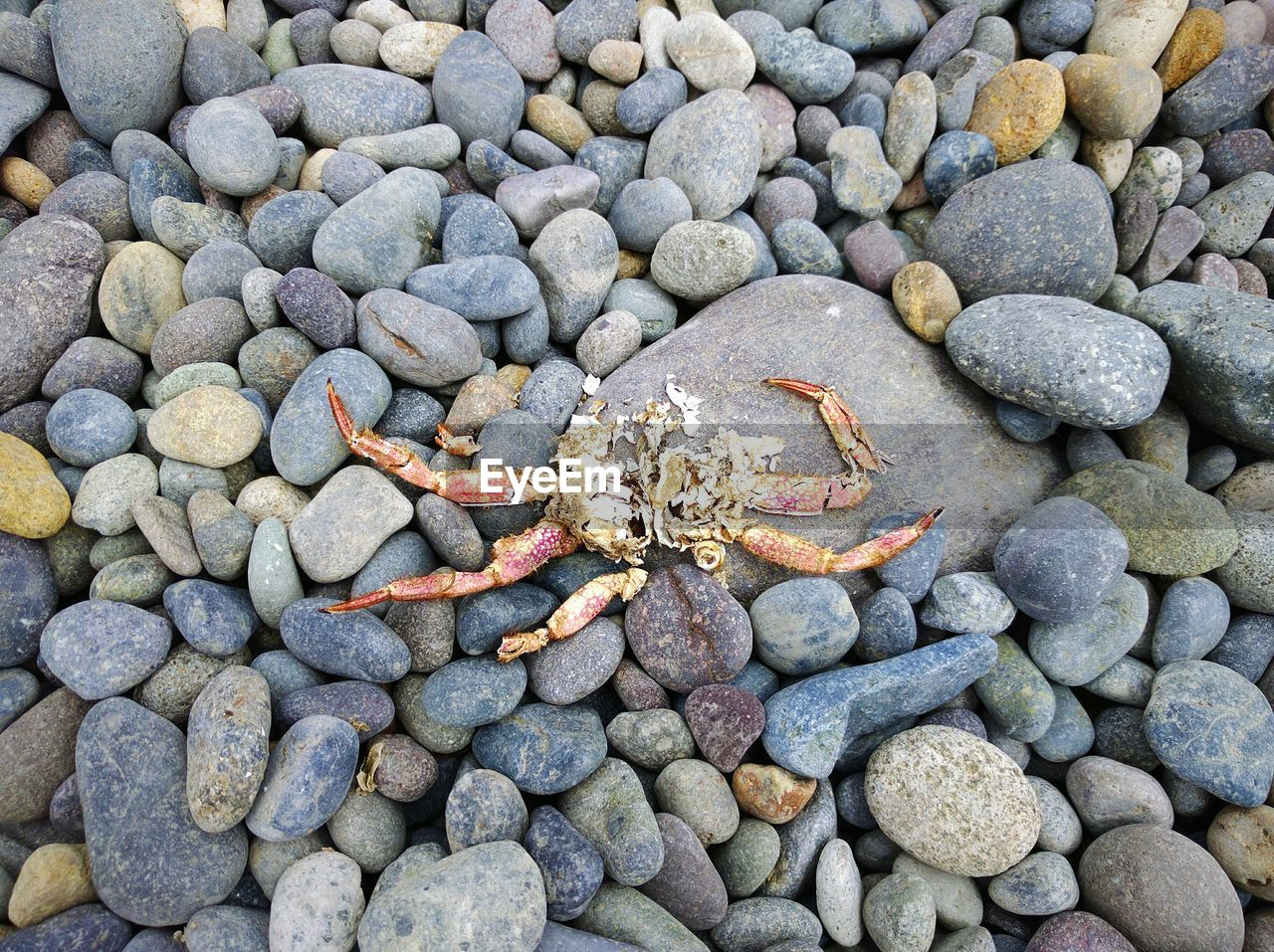 Directly Above Shot Of Dead Crab On Pebbles At Beach