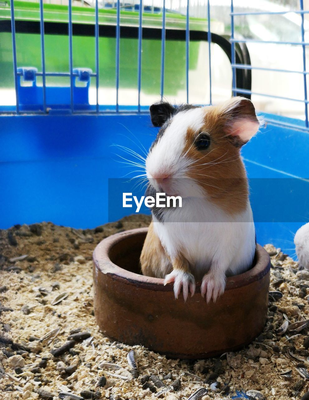 animal themes, animal, one animal, mammal, pets, domestic, rodent, vertebrate, animal wildlife, domestic animals, no people, cage, guinea pig, close-up, day, animals in the wild, focus on foreground, nature, container, indoors, whisker