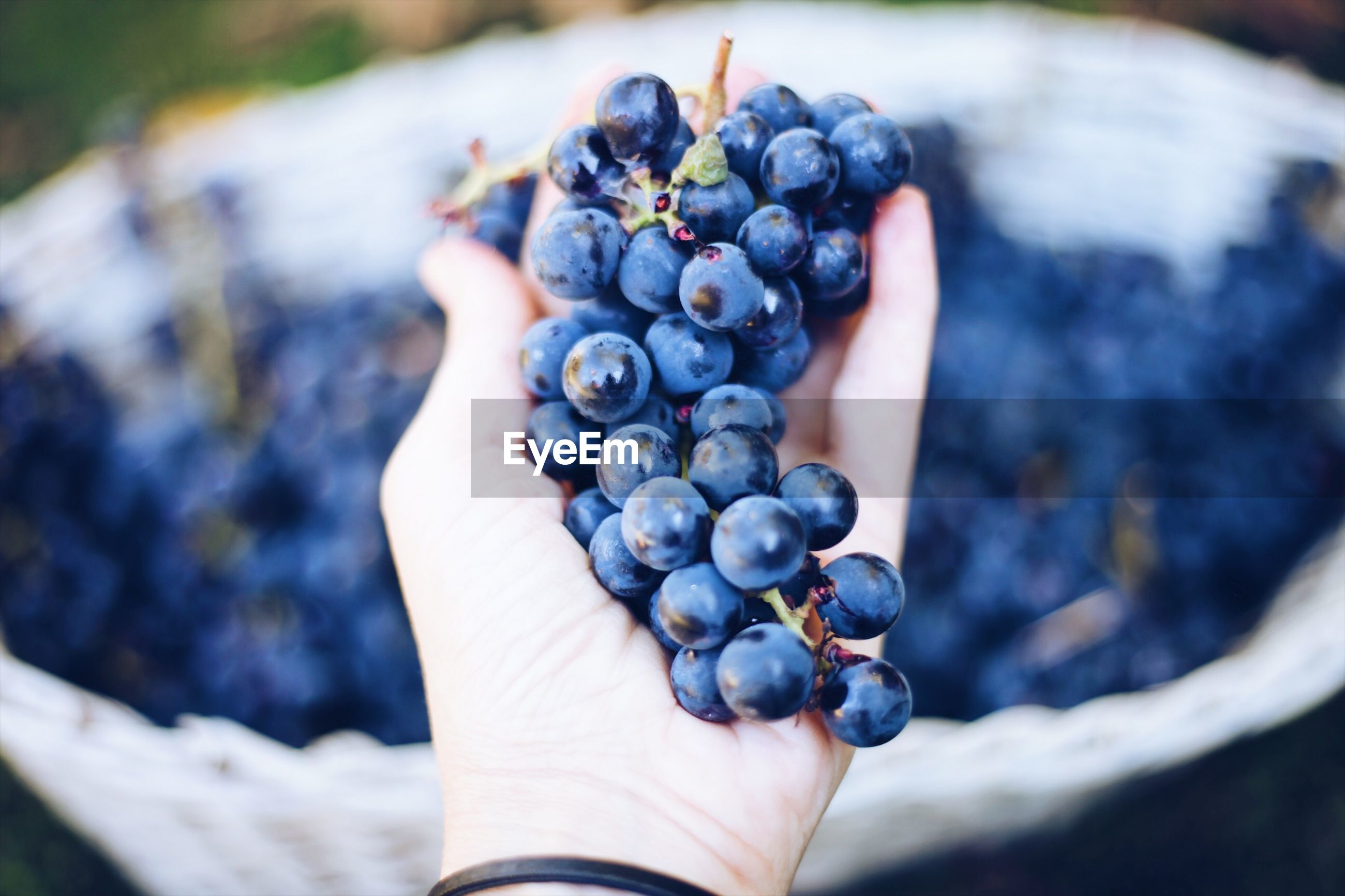 Cropped hand of woman holding grapes at farm