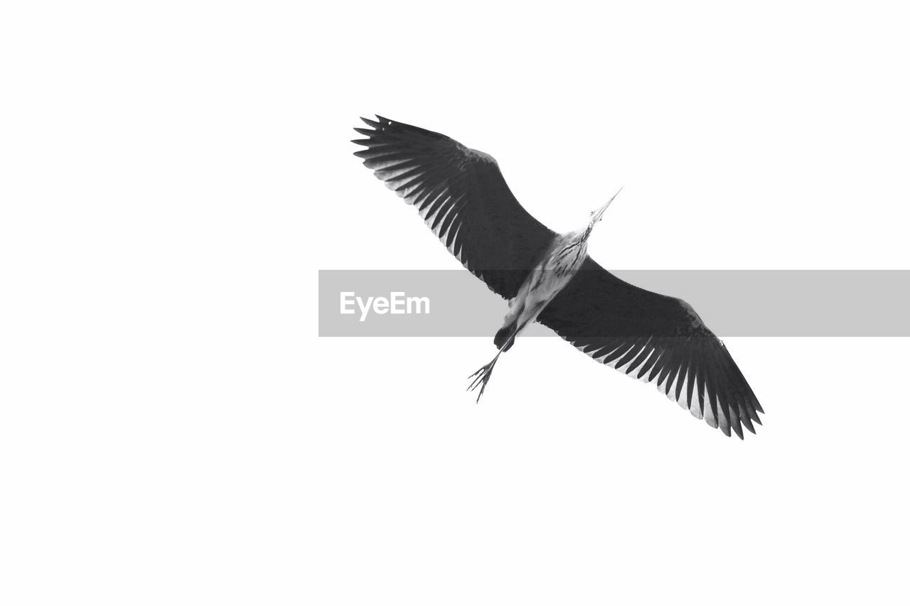 flying, bird, one animal, spread wings, animal themes, animals in the wild, mid-air, animal wildlife, nature, no people, low angle view, clear sky, outdoors, day