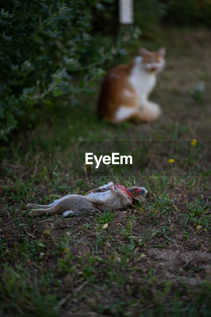 animal themes, animal, mammal, vertebrate, domestic, domestic animals, pets, field, land, no people, selective focus, cat, domestic cat, feline, one animal, plant, grass, nature