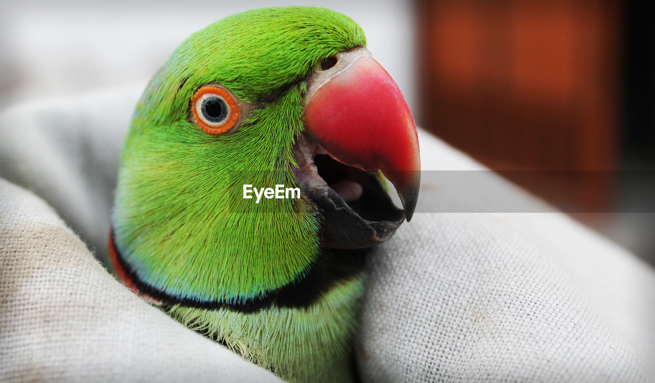 Close-up of parrot wrapped in blanket