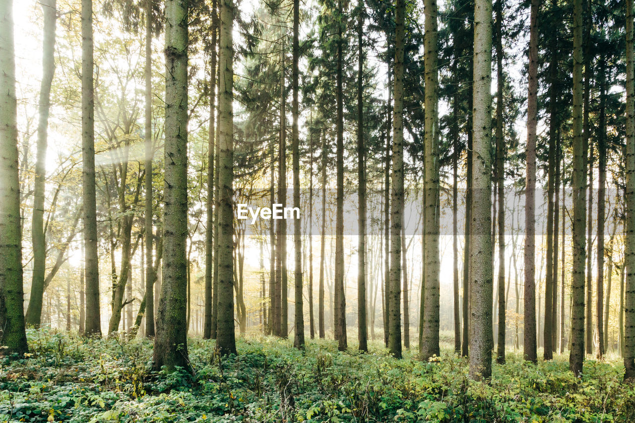 forest, tree, plant, land, woodland, trunk, tree trunk, tranquility, beauty in nature, tranquil scene, no people, nature, scenics - nature, environment, day, growth, landscape, non-urban scene, outdoors, sunlight, pine woodland, pine tree, coniferous tree, bamboo - plant