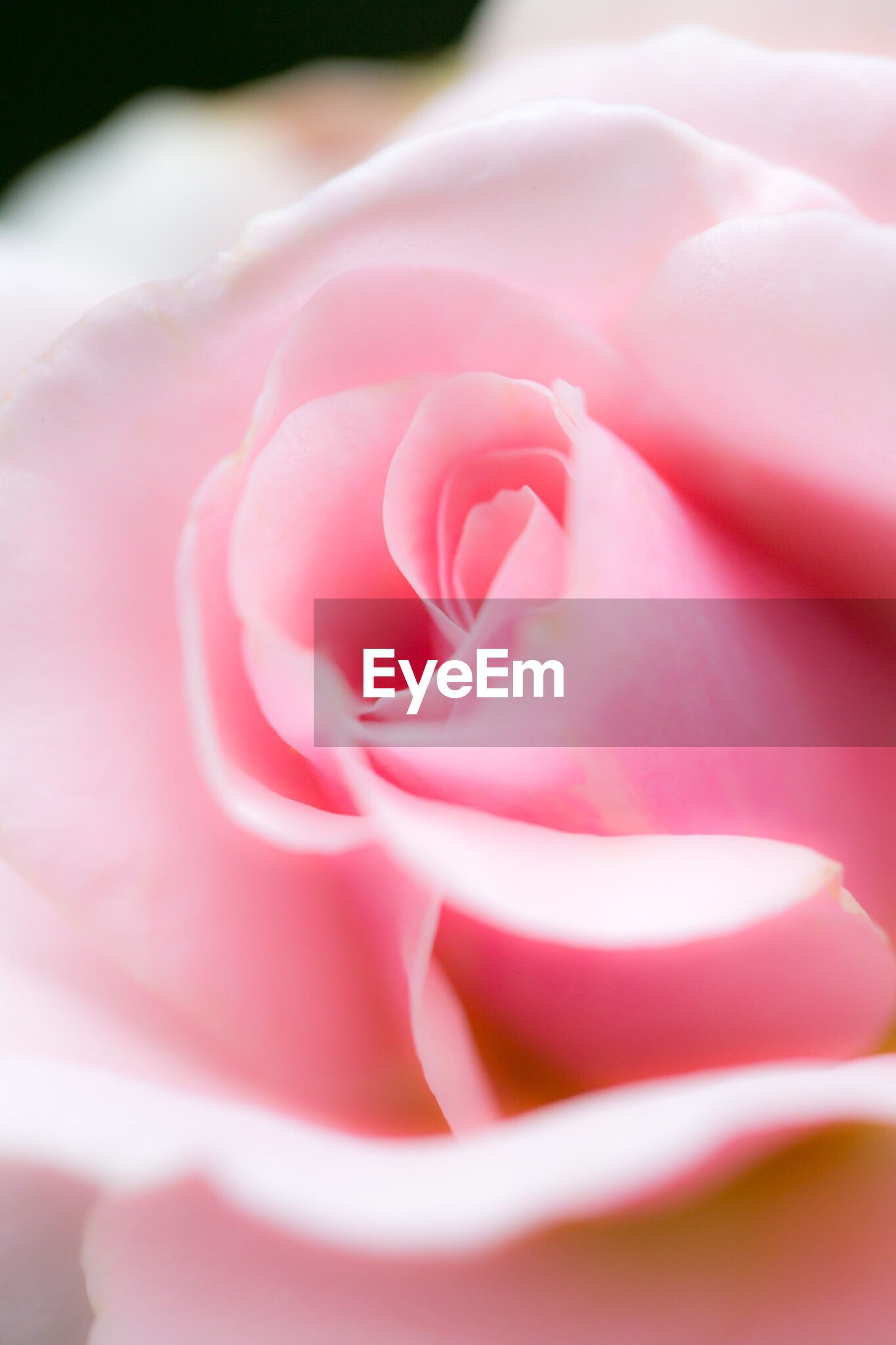 Extreme close-up of pink rose blooming outdoors