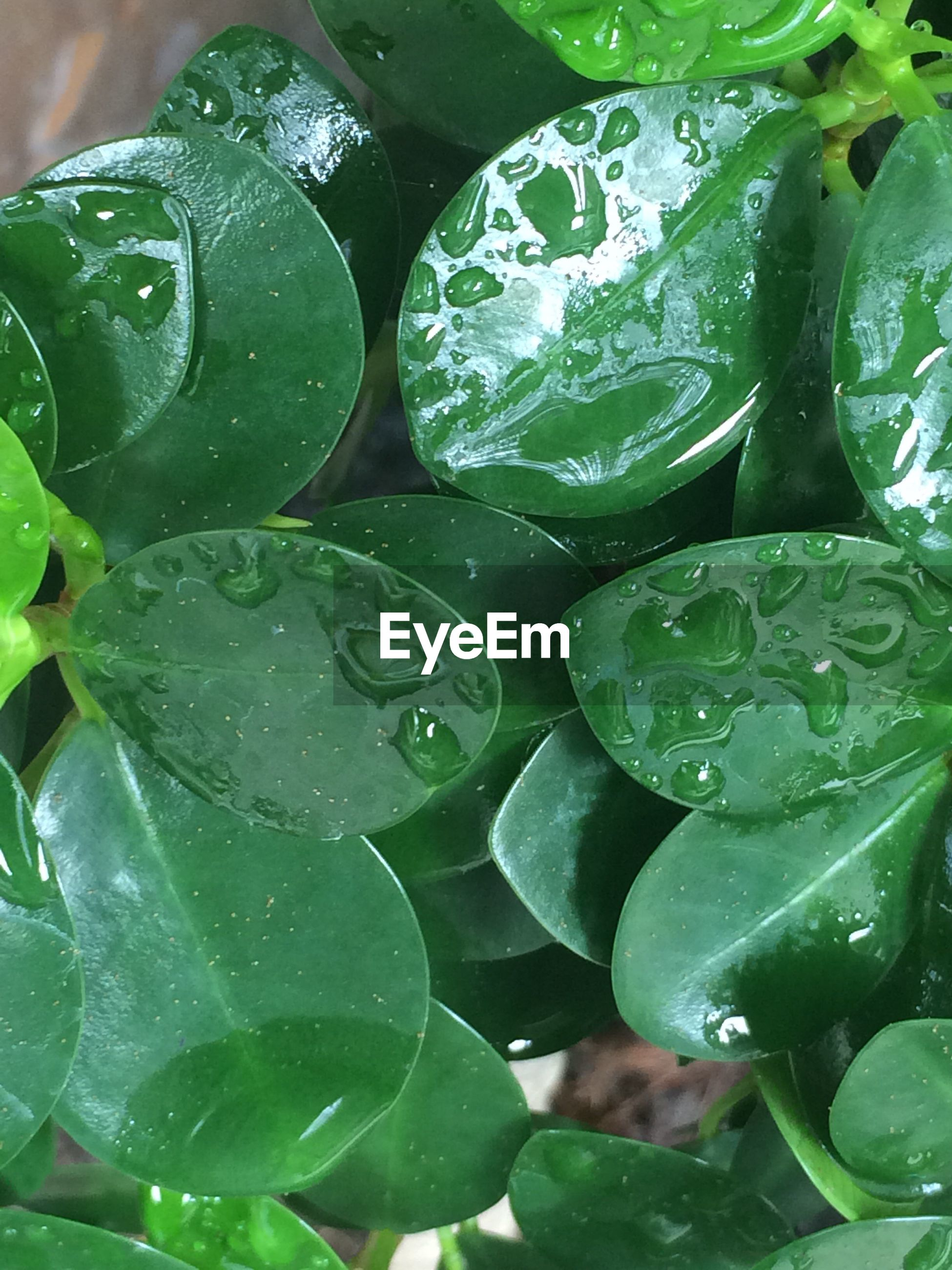 Close-up of leaf vegetables with water drops