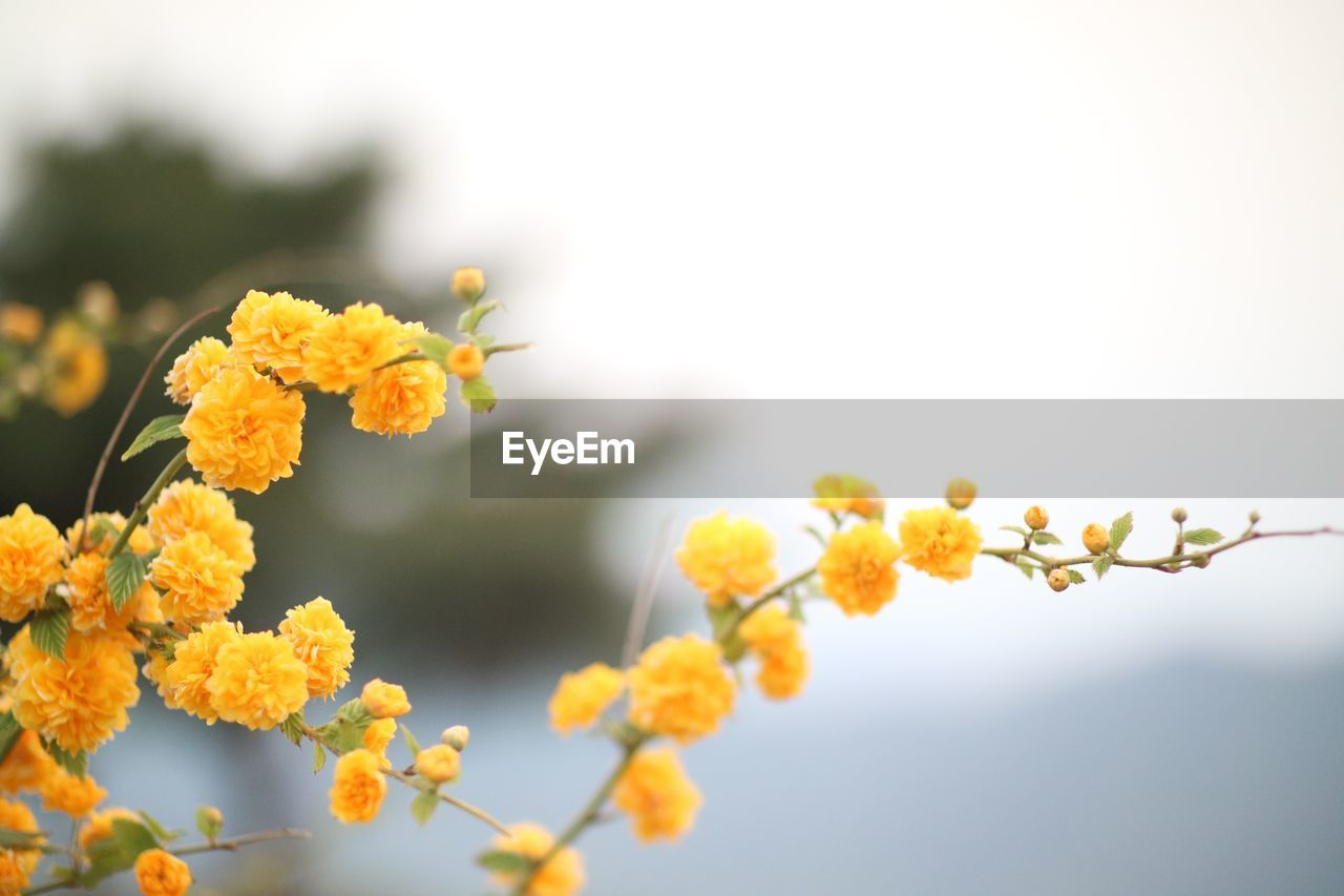 flower, plant, fragility, flowering plant, vulnerability, growth, beauty in nature, freshness, close-up, yellow, nature, petal, inflorescence, flower head, focus on foreground, selective focus, day, no people, sky, outdoors, pollen, lantana