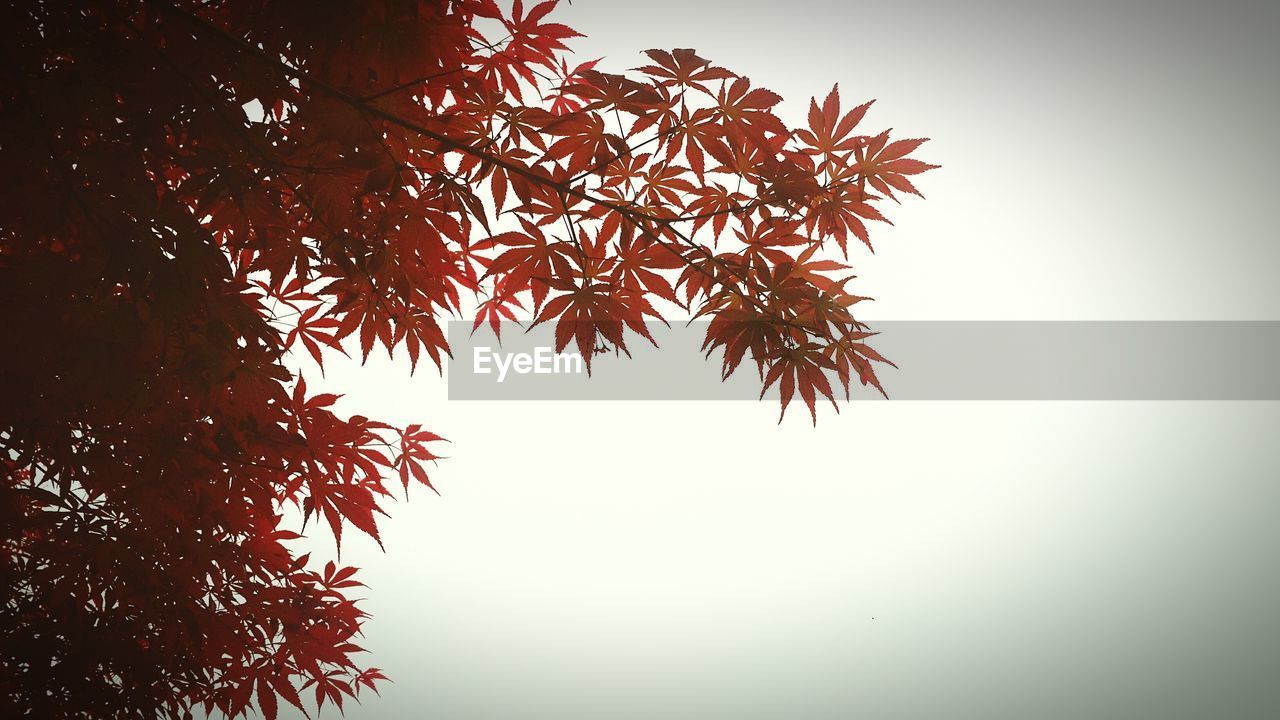 tree, low angle view, autumn, leaf, nature, beauty in nature, growth, clear sky, no people, change, outdoors, branch, day, sky, scenics, close-up