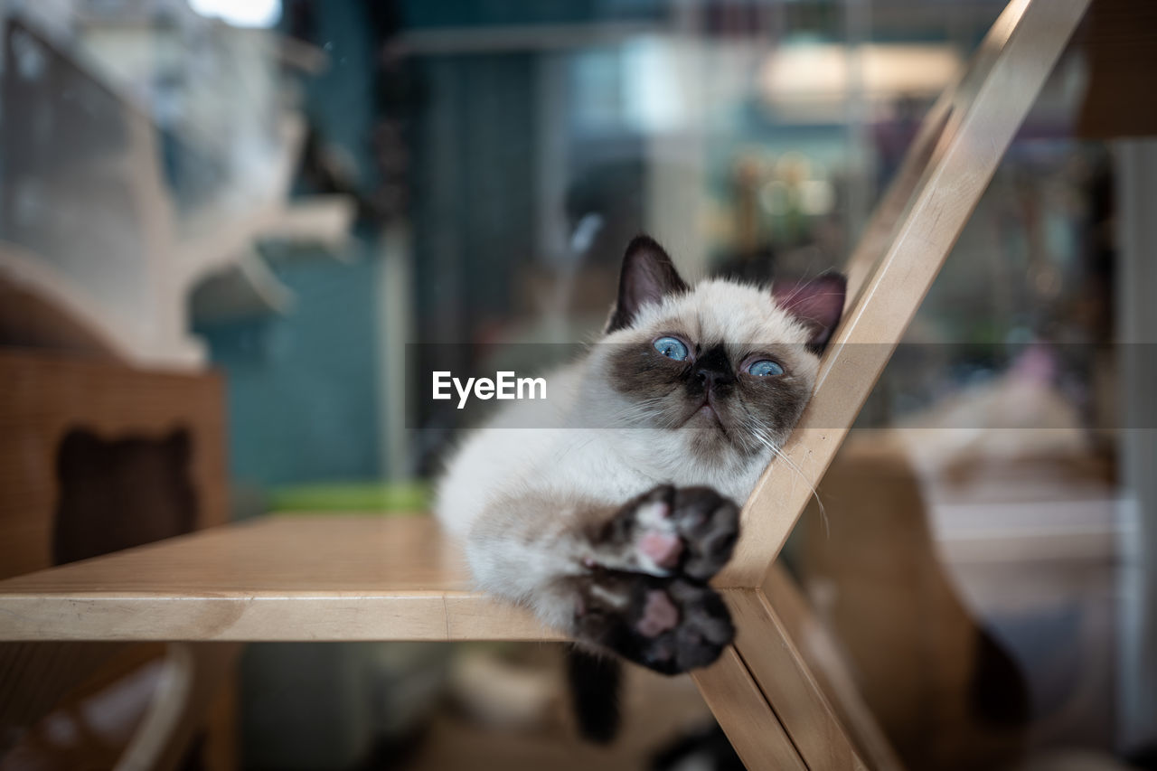 mammal, one animal, domestic, pets, cat, feline, domestic cat, domestic animals, vertebrate, focus on foreground, whisker, portrait, no people, looking at camera, indoors, table, day, animal eye