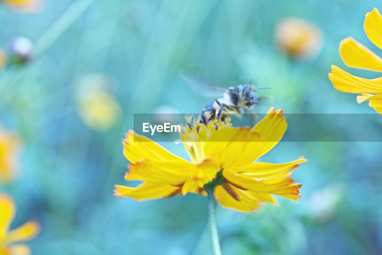 flower, insect, animal themes, nature, one animal, fragility, animals in the wild, petal, day, growth, beauty in nature, bee, outdoors, no people, animal wildlife, freshness, plant, close-up, yellow, pollination, flower head, buzzing