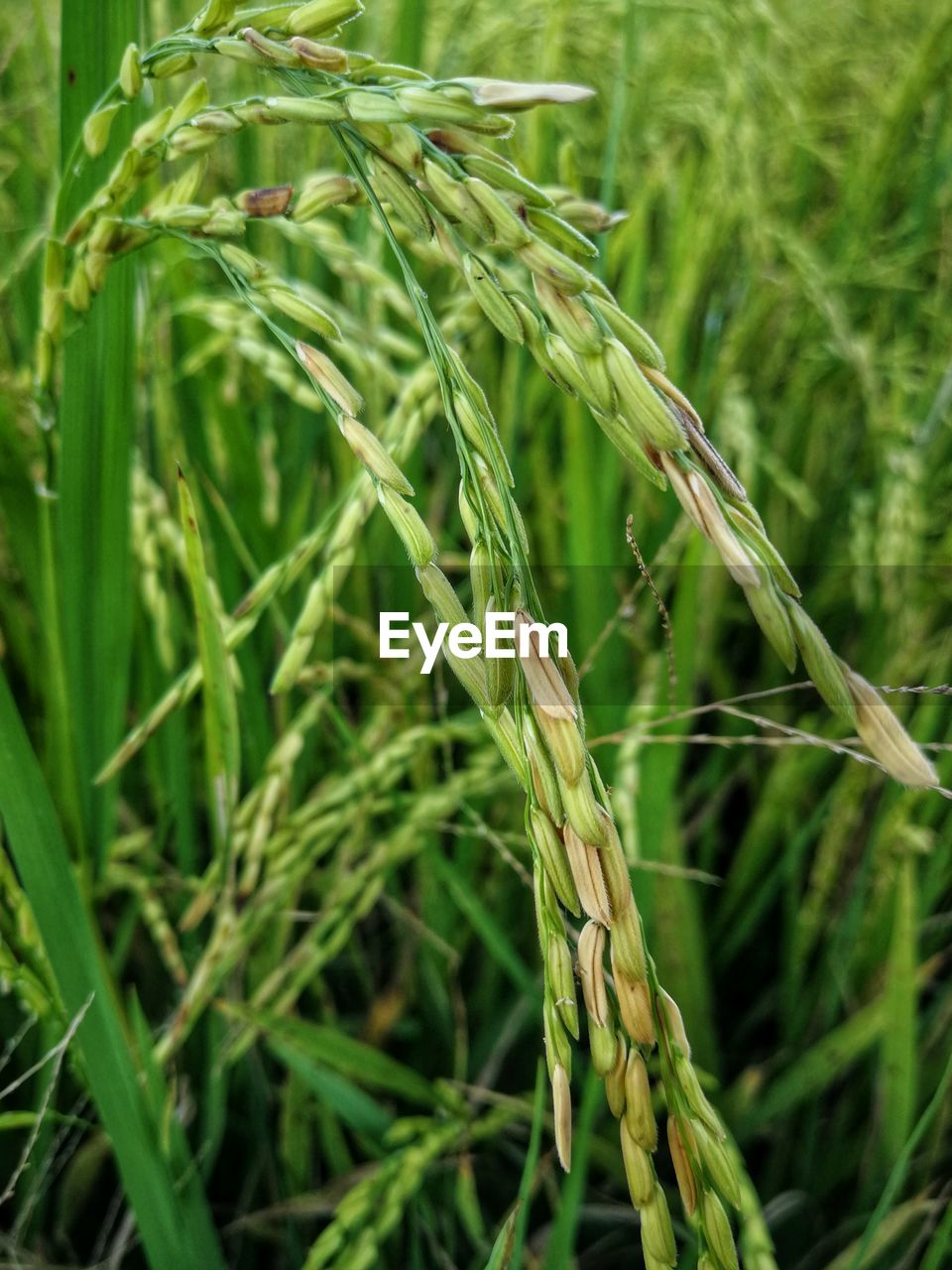 plant, crop, growth, green color, agriculture, cereal plant, nature, close-up, land, wheat, field, focus on foreground, day, rural scene, beauty in nature, farm, rice - cereal plant, no people, landscape, ear of wheat, outdoors, plantation, stalk