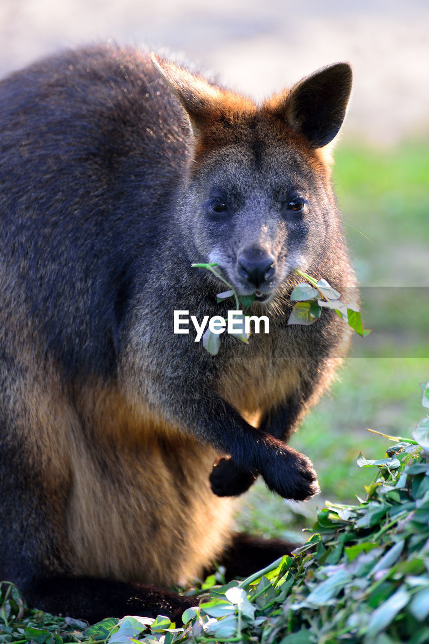 Portrait of kangaroo eating plant