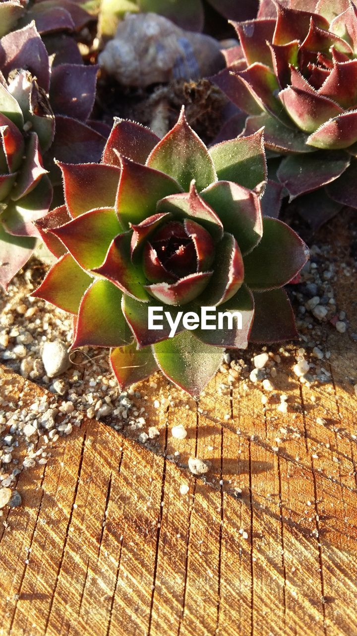 succulent plant, plant, growth, nature, beauty in nature, cactus, close-up, no people, day, sunlight, thorn, flower, outdoors, high angle view, green color, focus on foreground, natural pattern, leaf, plant part, field, flower head