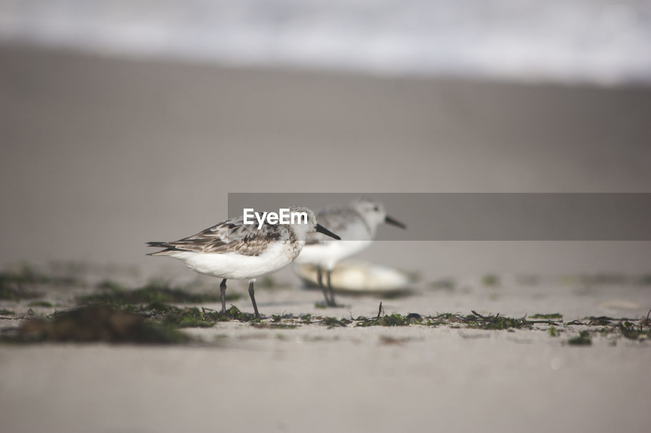 bird, animal, selective focus, animals in the wild, animal themes, animal wildlife, vertebrate, day, no people, nature, outdoors, one animal, land, close-up, beach, seagull, perching, sea, side view, water