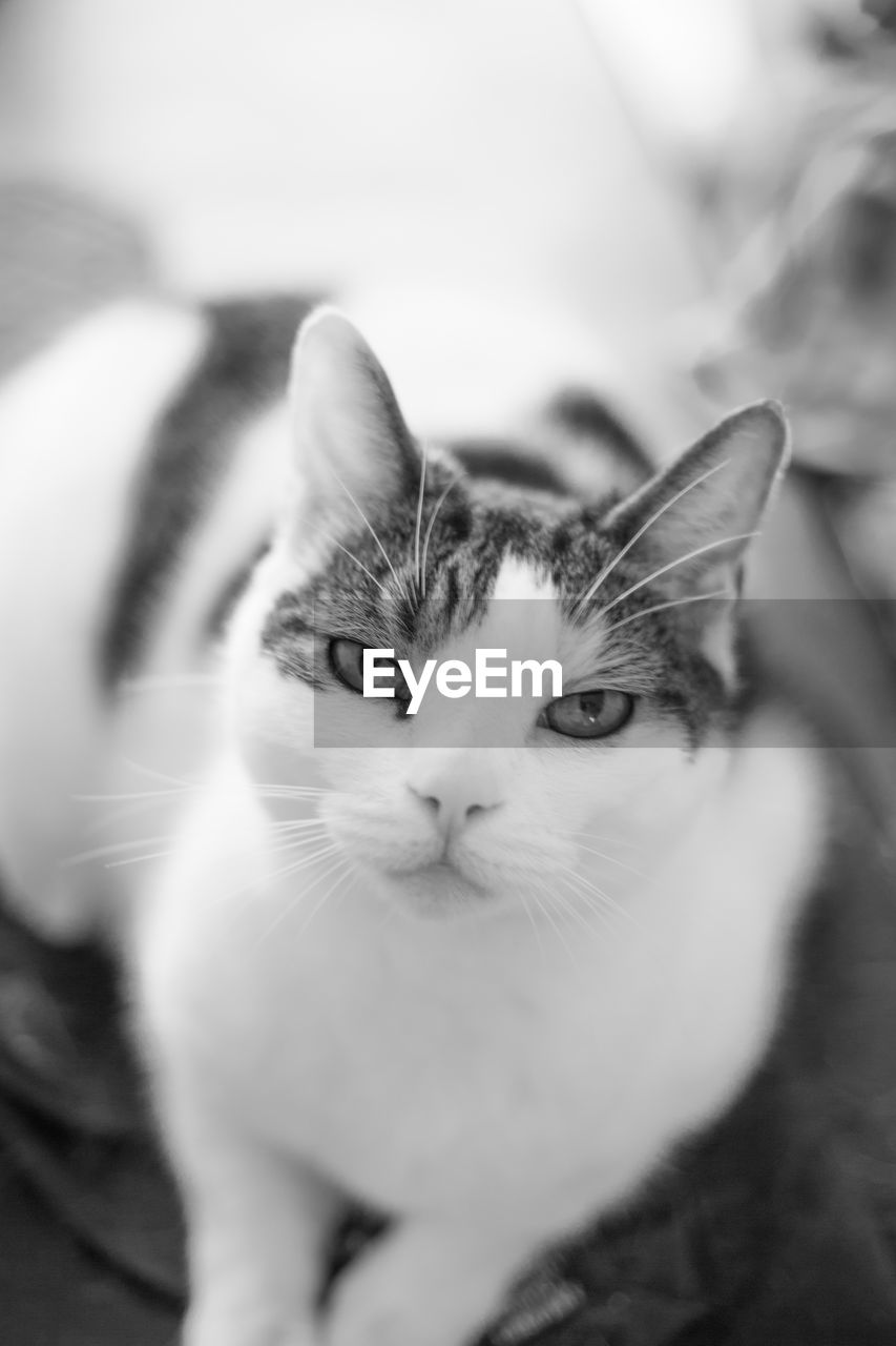 pets, domestic, cat, domestic animals, domestic cat, feline, animal themes, animal, mammal, one animal, vertebrate, portrait, whisker, close-up, selective focus, no people, indoors, looking at camera, animal body part, focus on foreground, animal head, animal eye, care