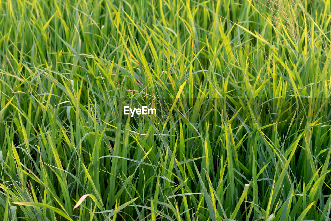 green color, plant, full frame, growth, backgrounds, field, grass, land, beauty in nature, nature, agriculture, no people, landscape, day, rural scene, crop, tranquility, close-up, farm, freshness, outdoors, blade of grass, plantation