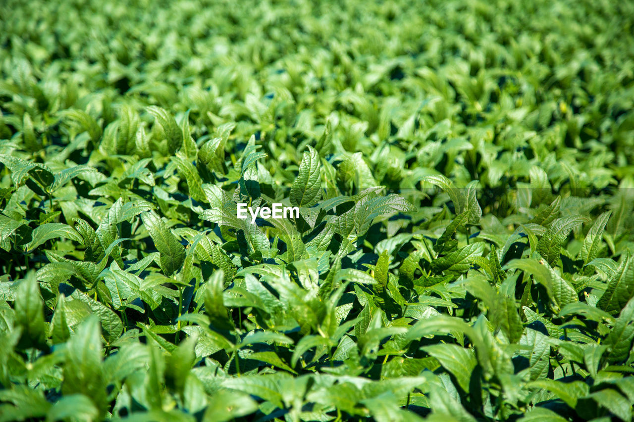 green color, vegetable, nature, backgrounds, full frame, food, no people, freshness, growth, day, outdoors, close-up